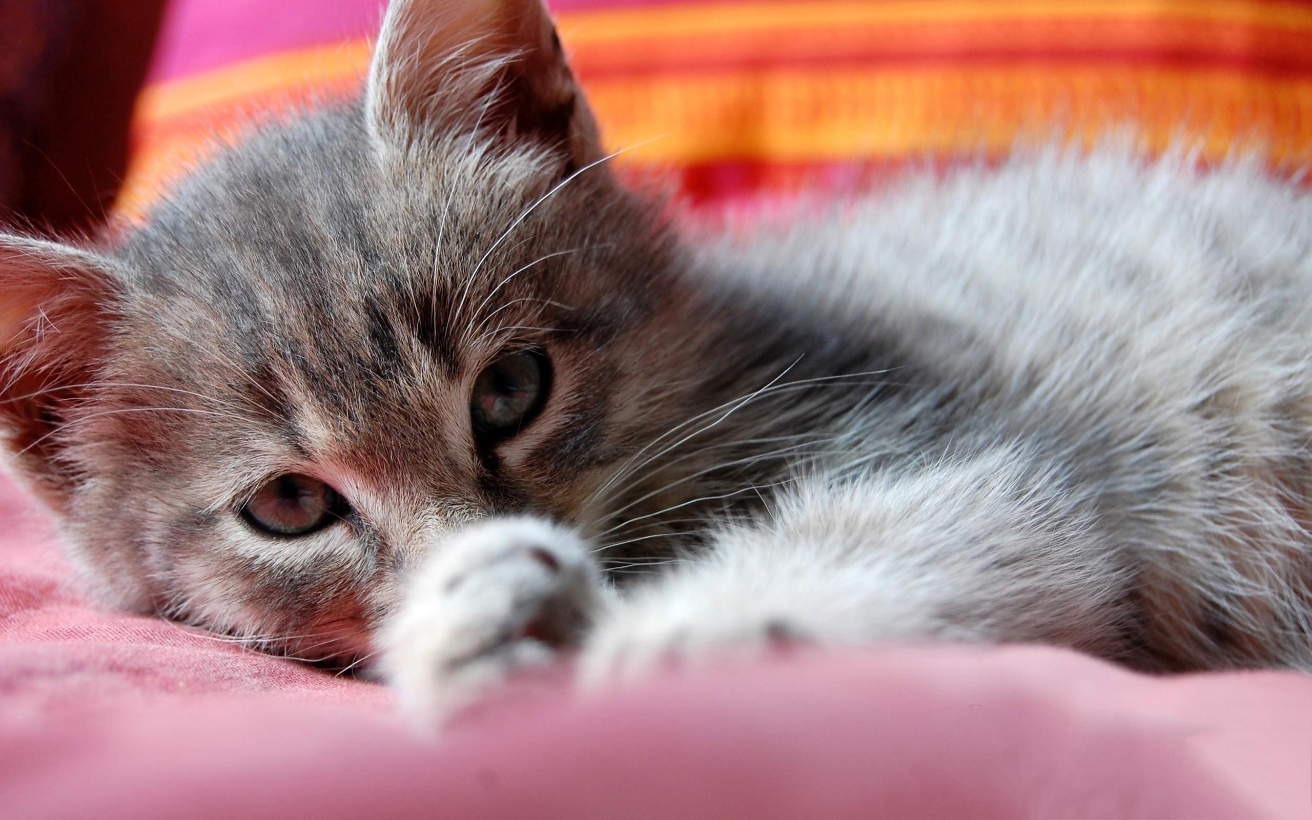 Lying cute kitty hd