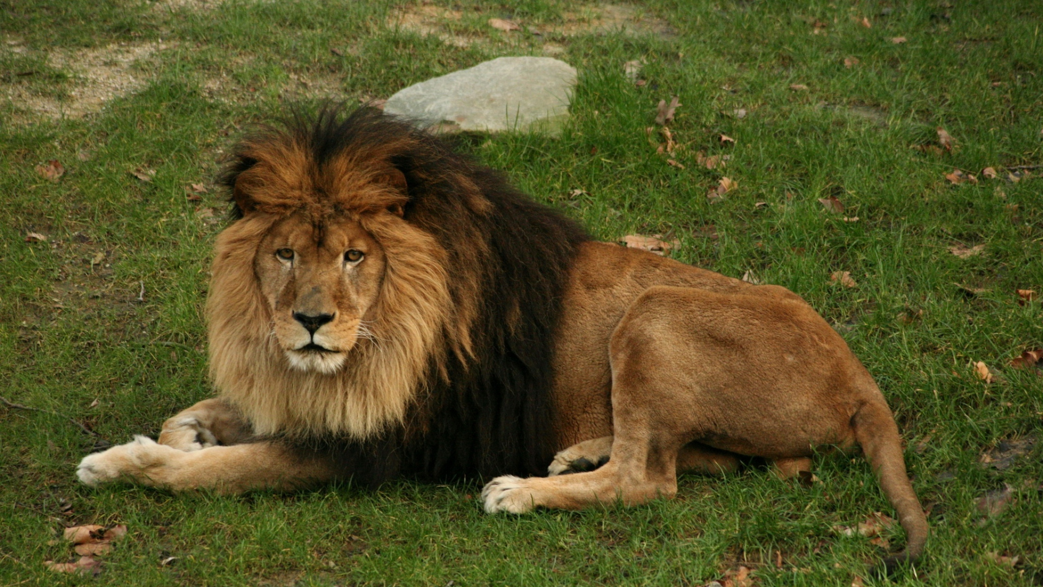 2048x1152 Wallpaper lion, lying, grass, mane, big cat, predator