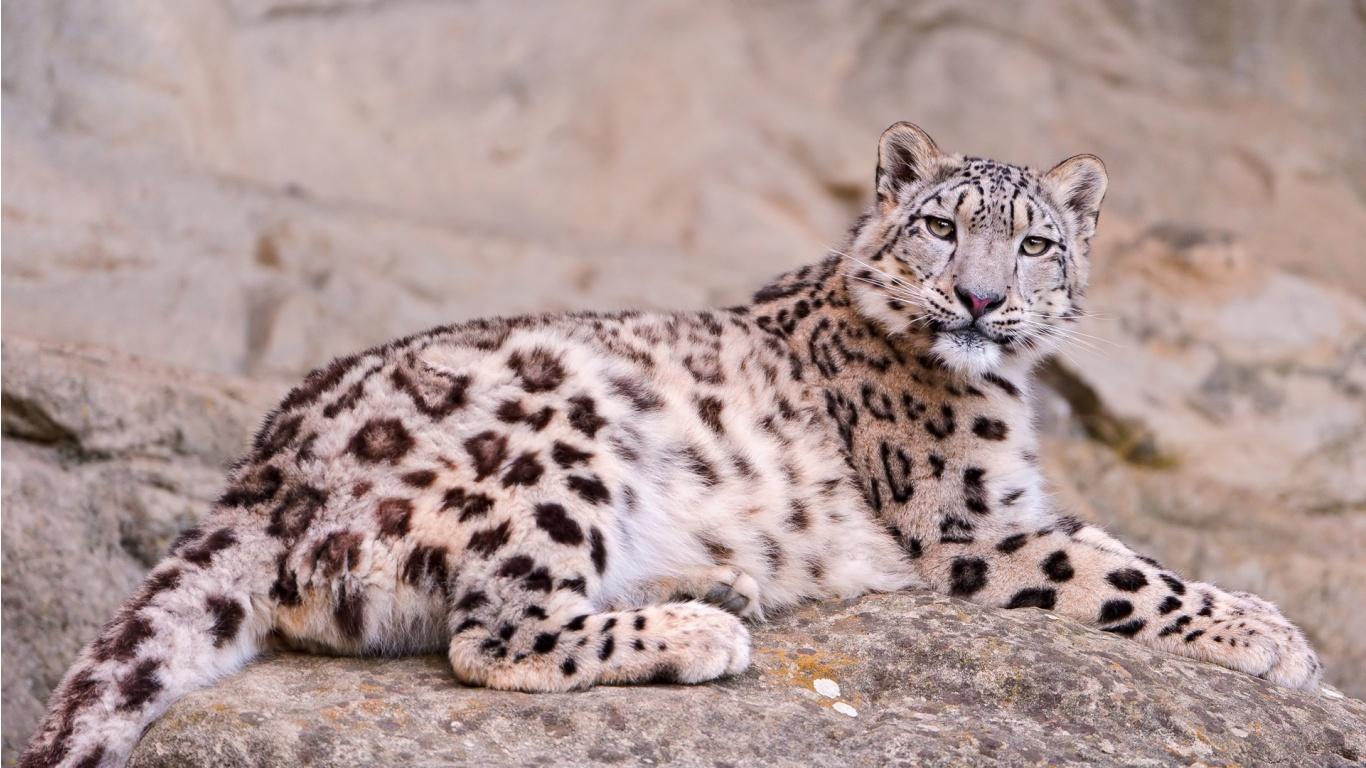 Lying Snow Leopard Kailash