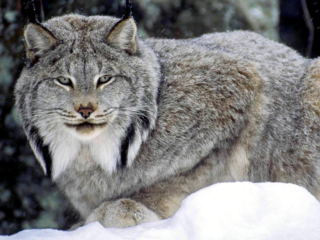 Lynx Background HD 38470 2560x1600 px