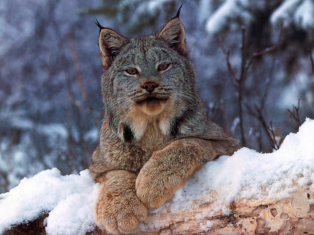 Lynx Backgrounds