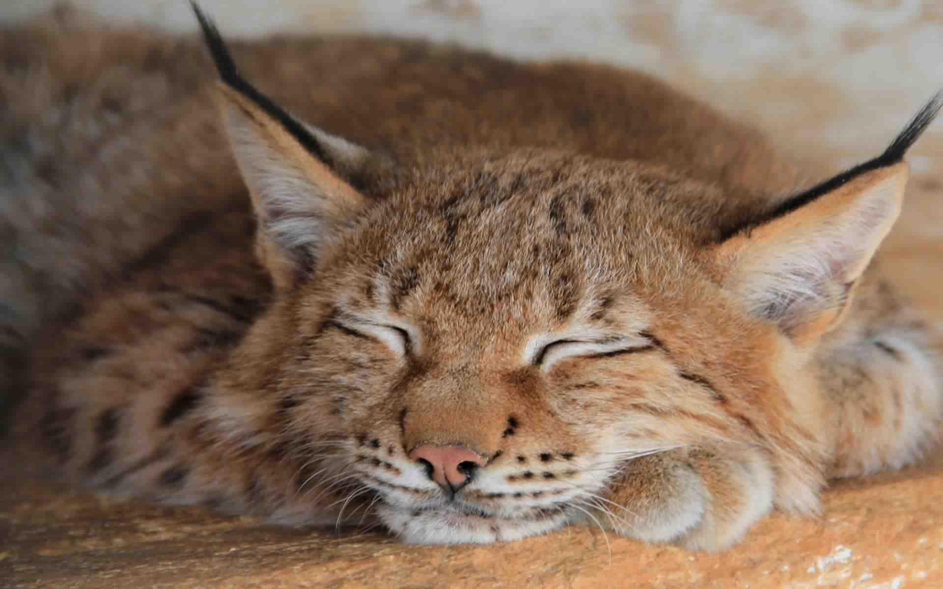 DOWNLOAD: lynx sleep predator face big cat free picture 2560 x 1600