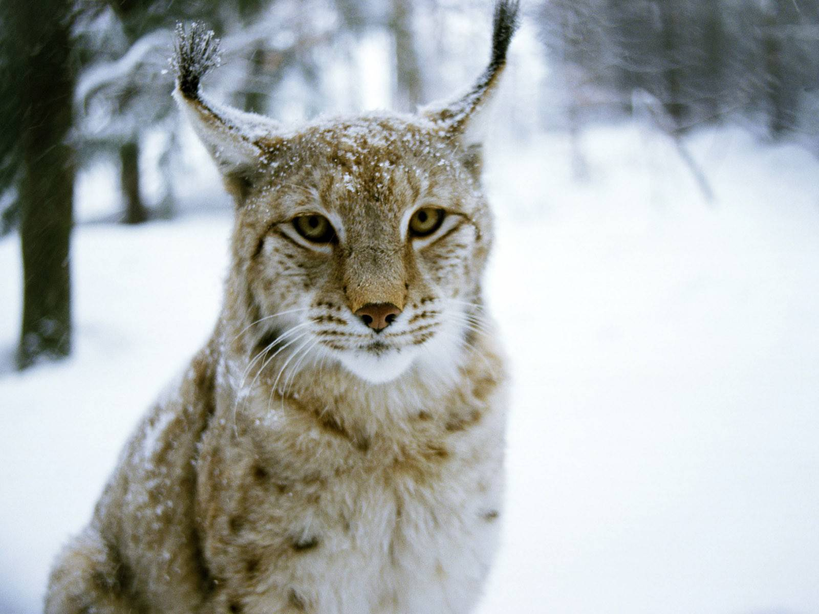 Related For Lynx Macro Wallpaper 38486. Lynx Pictures 38492