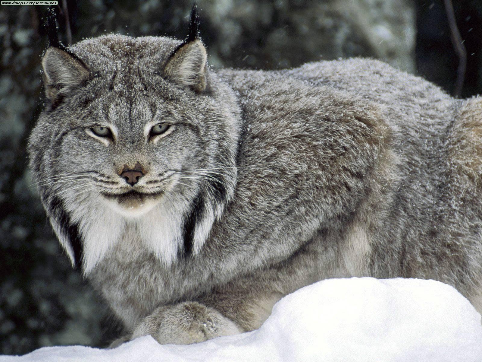 ... Lynx #04 Image ...
