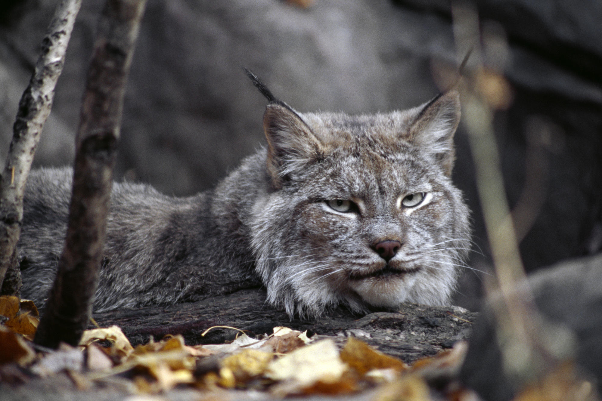 Lynx Wallpaper
