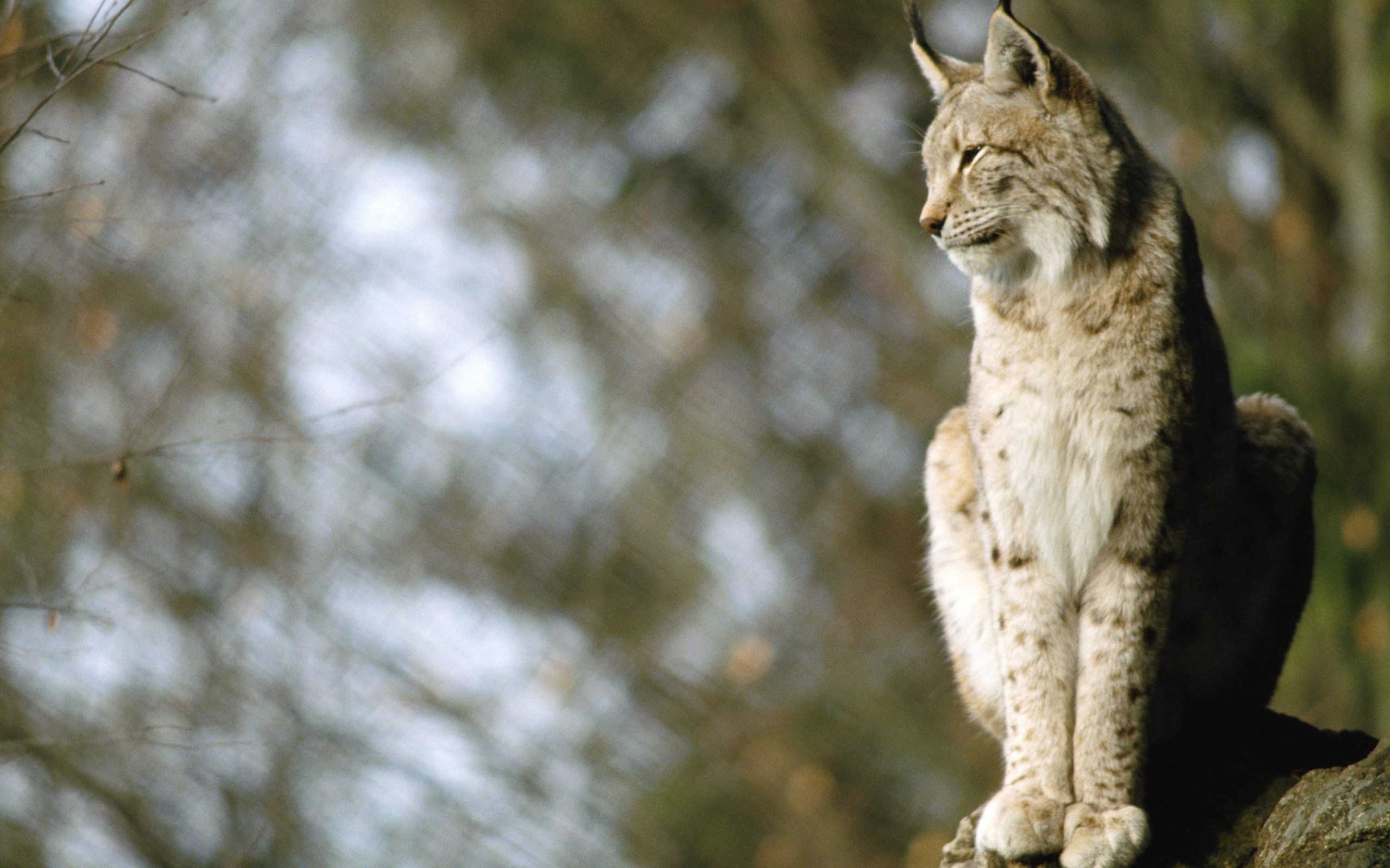 HD Wallpaper | Background ID:367456. 2560x1600 Animal Lynx