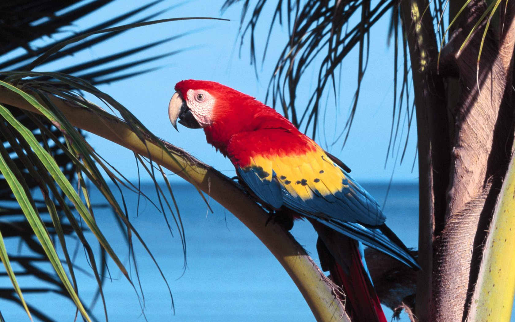 scarlet macaw birds hd wallpapers cool desktop background photographs widescreen