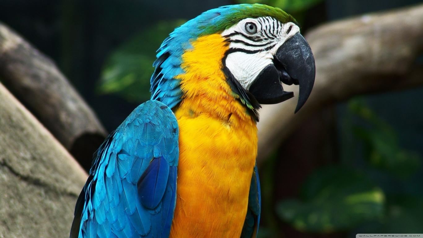 Macaw HD
