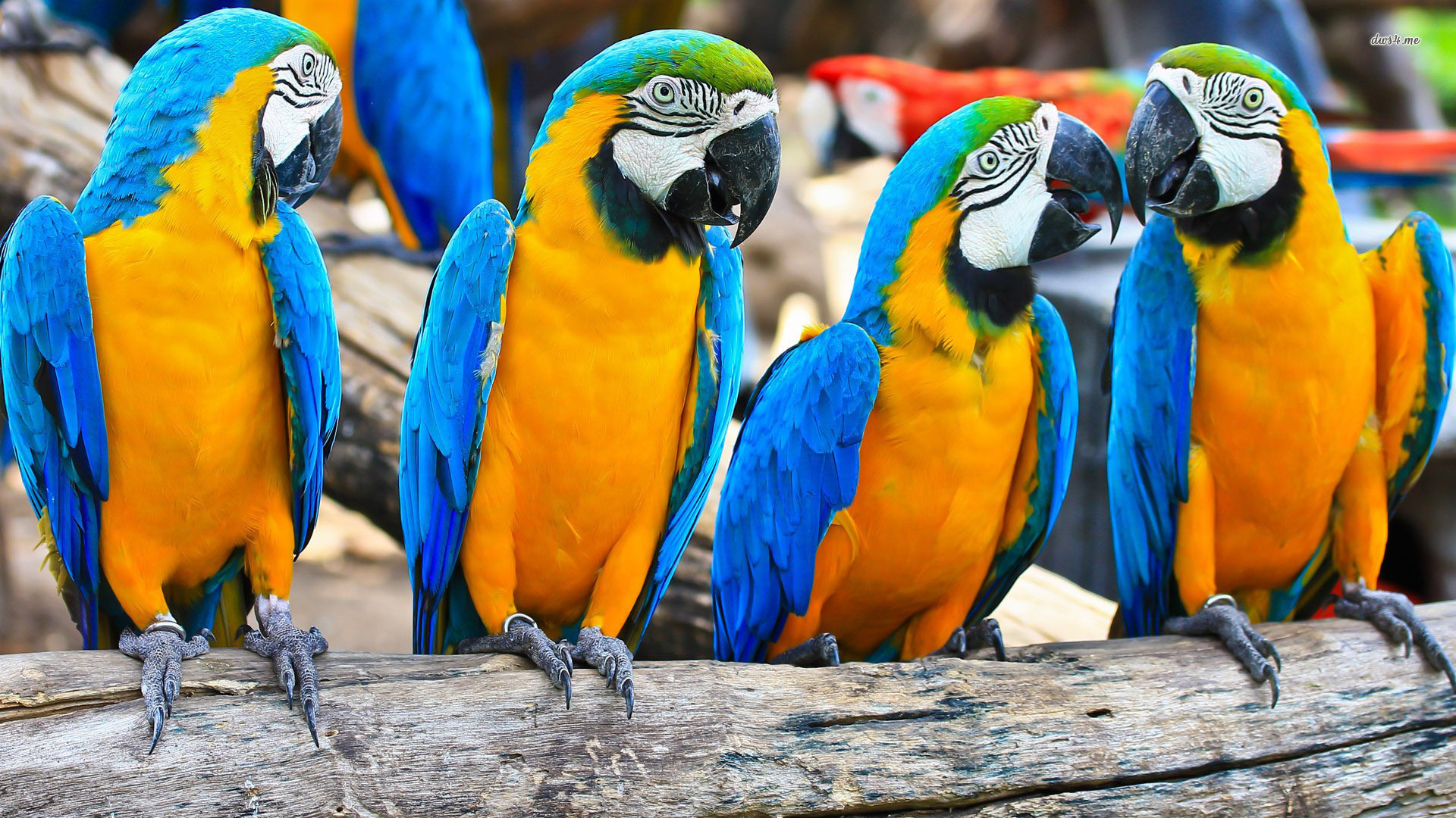 ... Blue-and-yellow Macaws wallpaper 1920x1080 ...