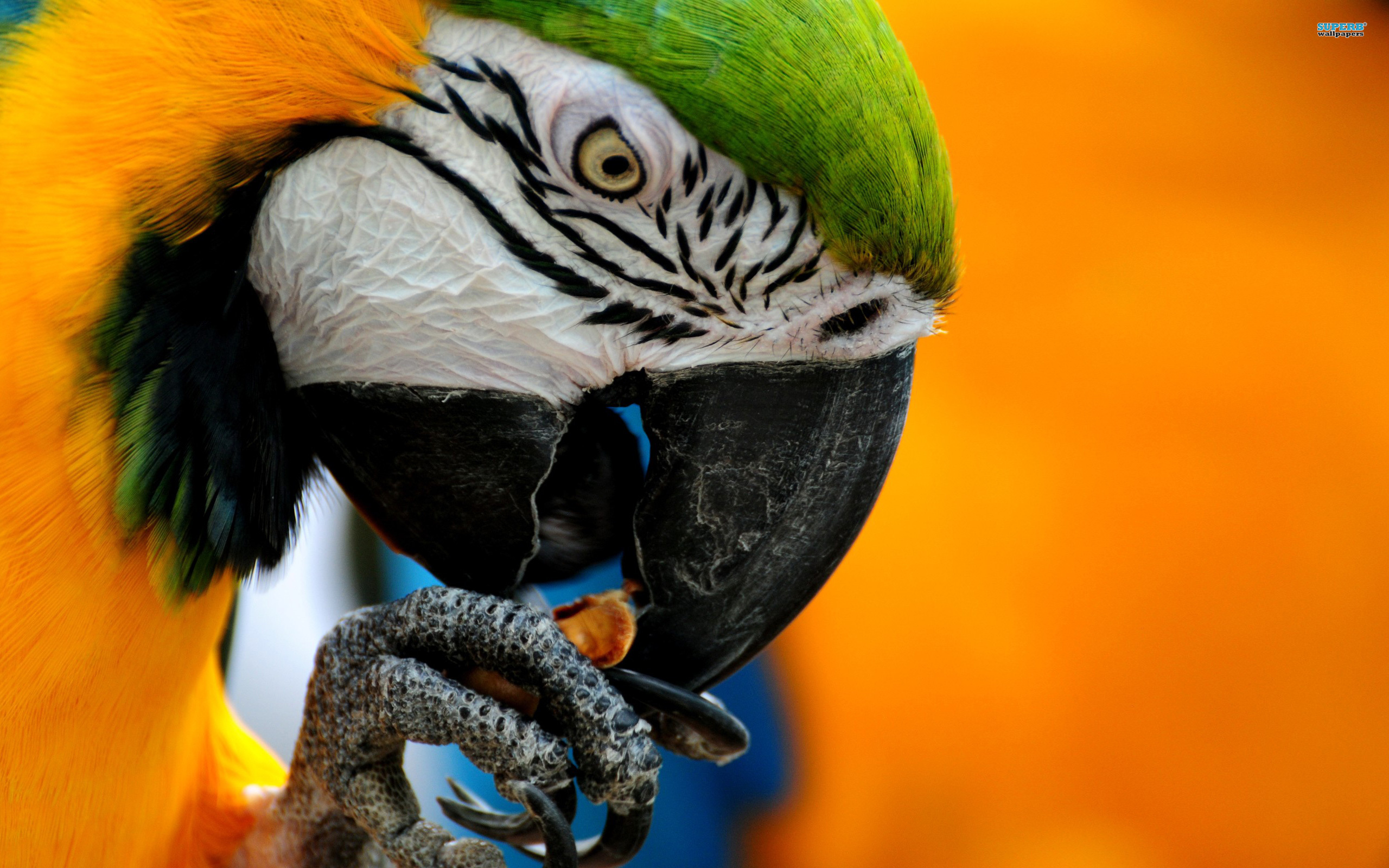 Blue-and-yellow Macaw wallpaper 2560x1600