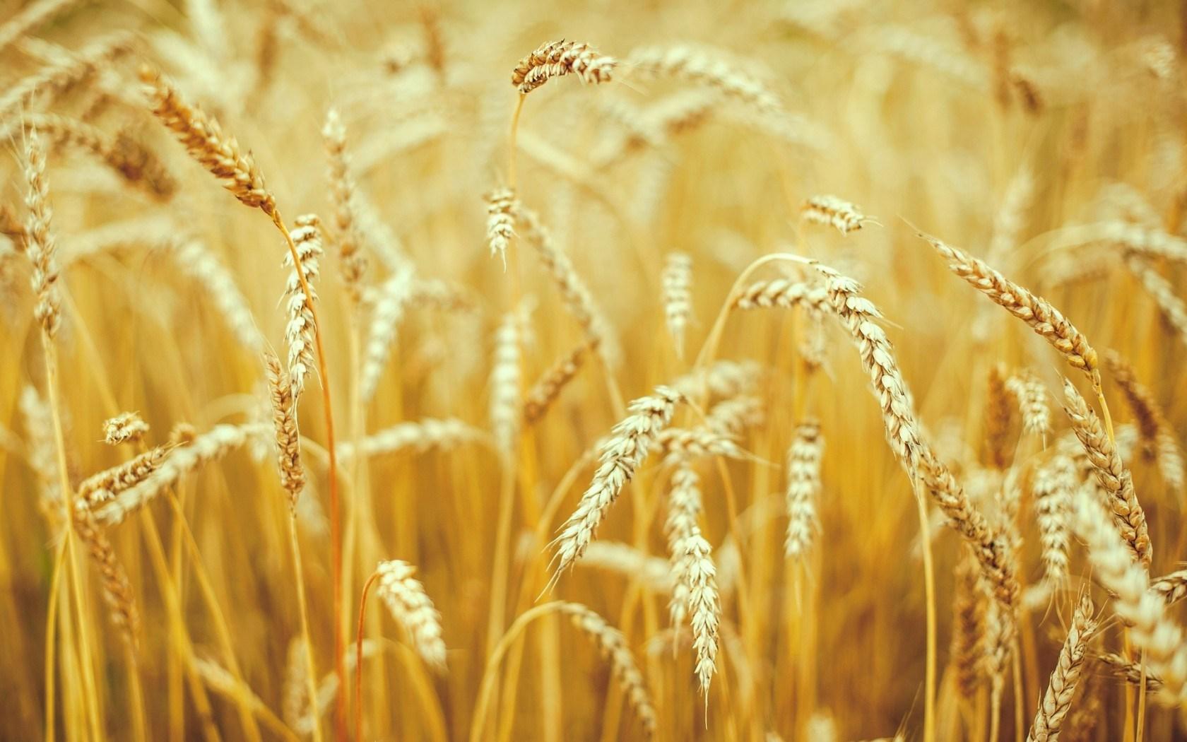 Macro Nature Field Wheat