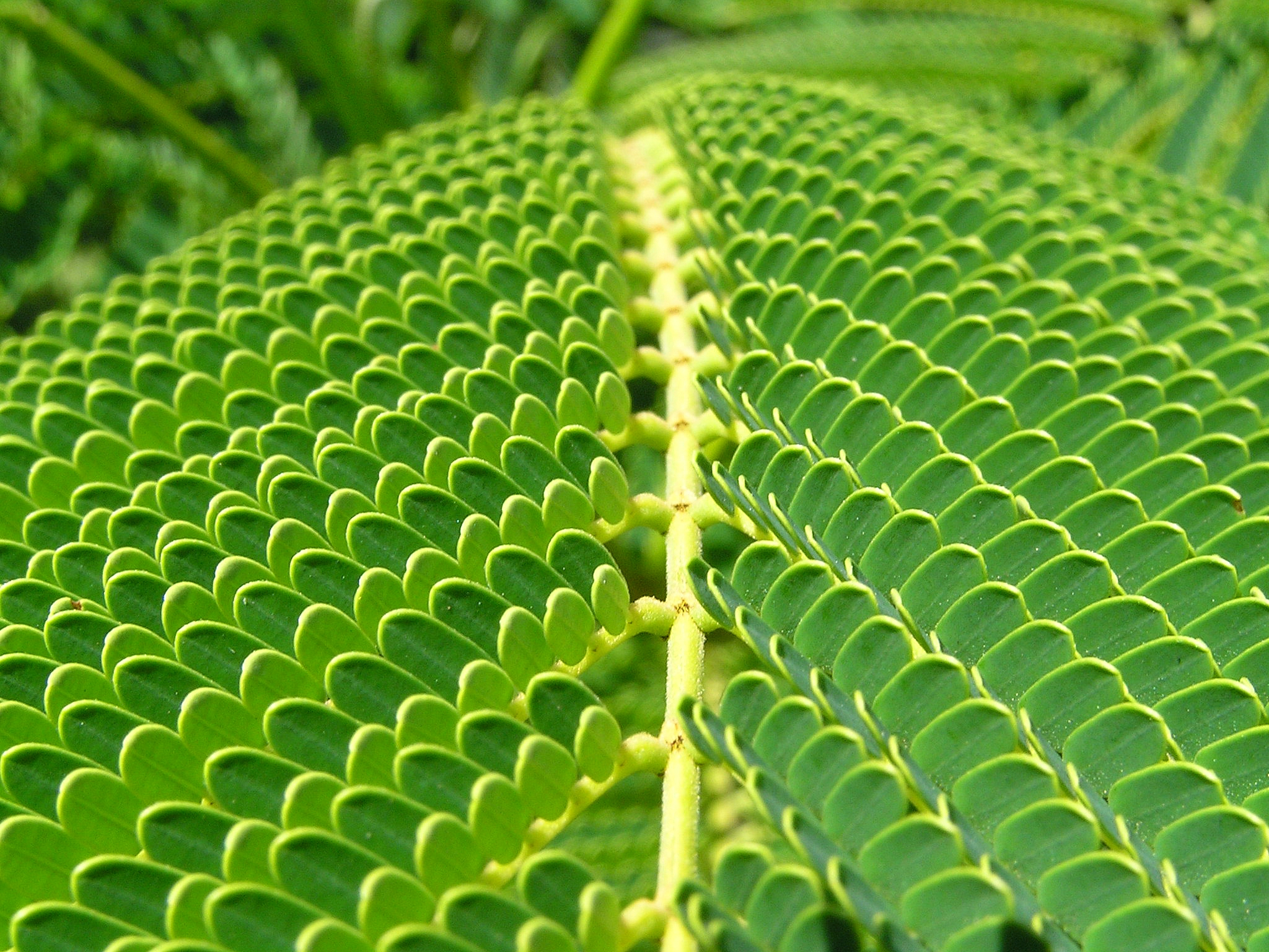 File:Unidentified fern macro.jpg