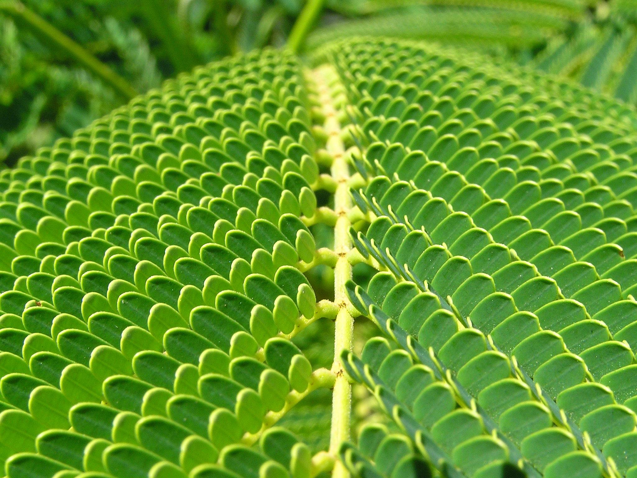 File:Unidentified fern macro.jpg
