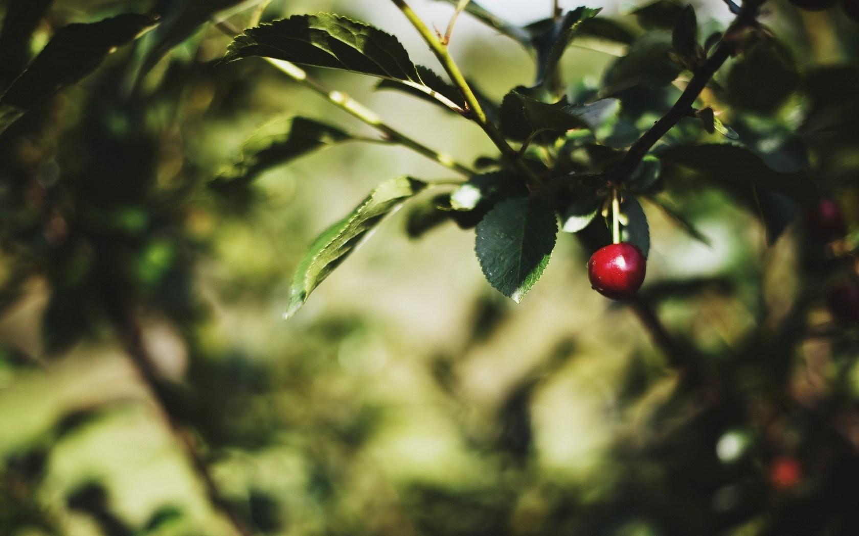 Macro Tree Leaves Cherry Nature