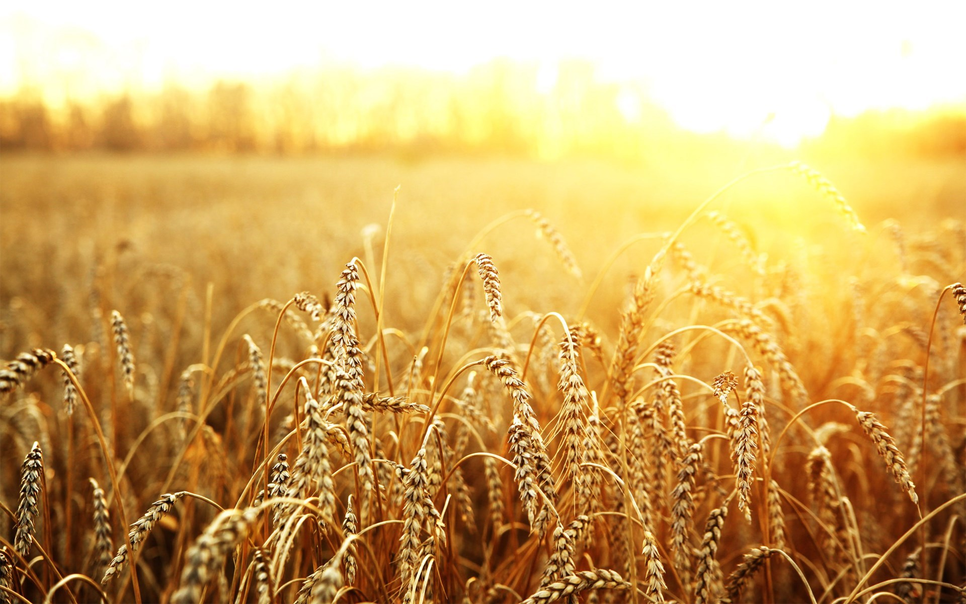 Macro Field Wheat Sun