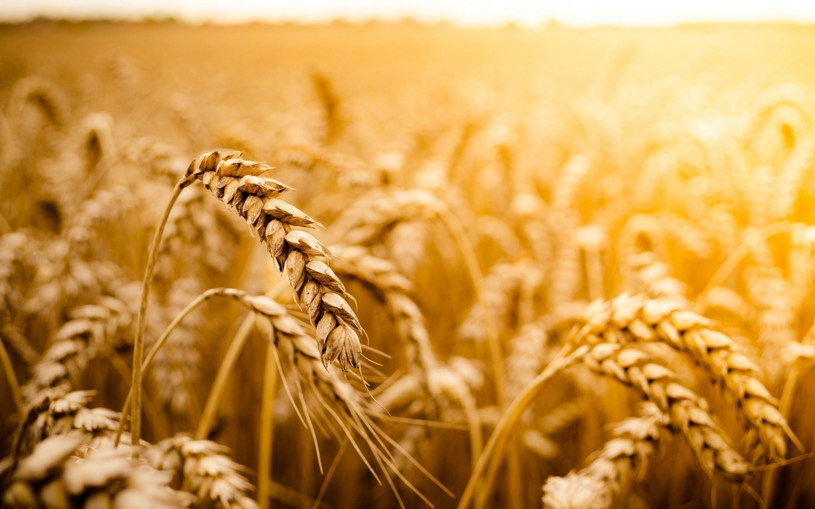Macro Wheat Field Sun Nature HD Images