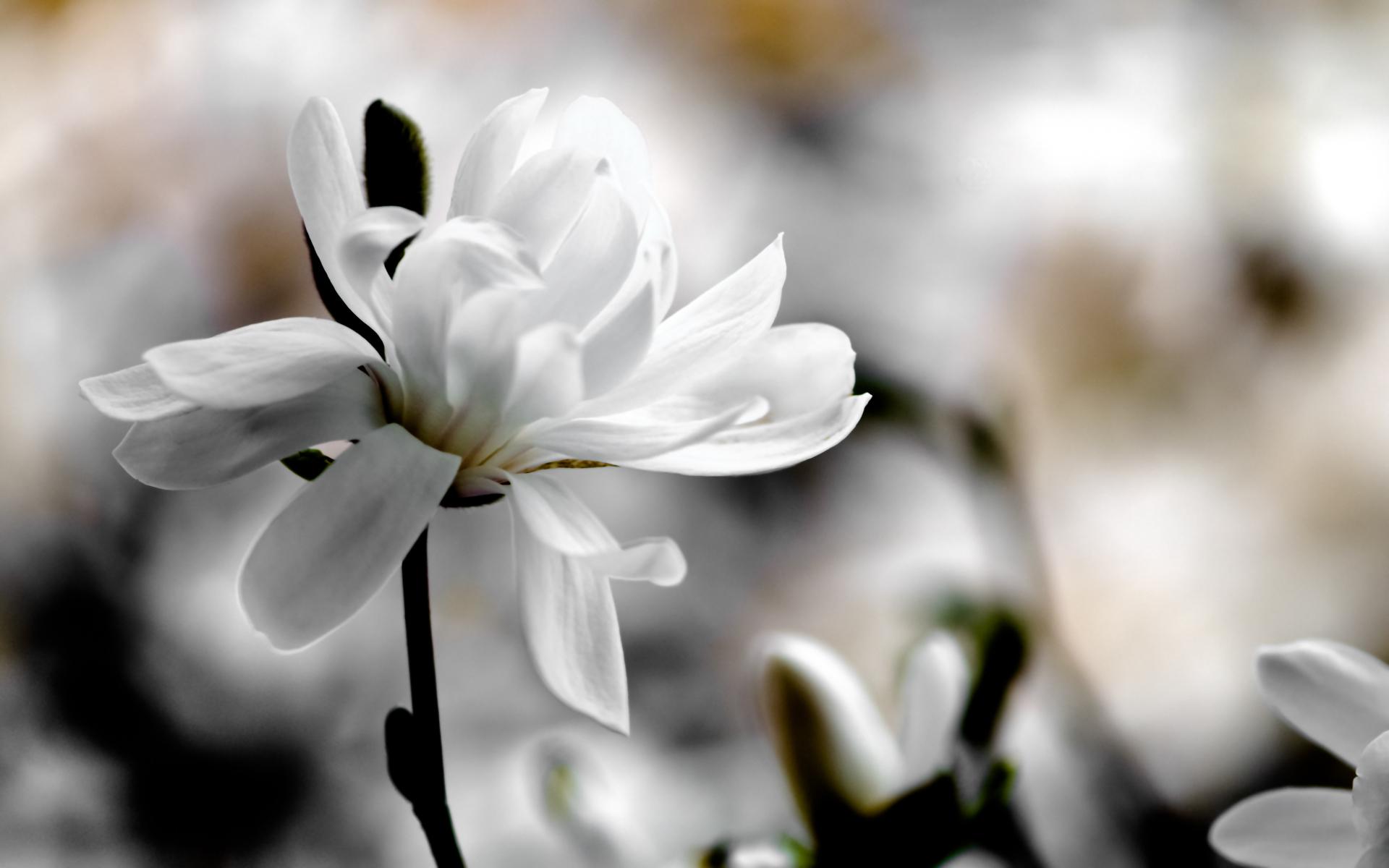 Magnolia, white, background, blur, spring, macro, flowers