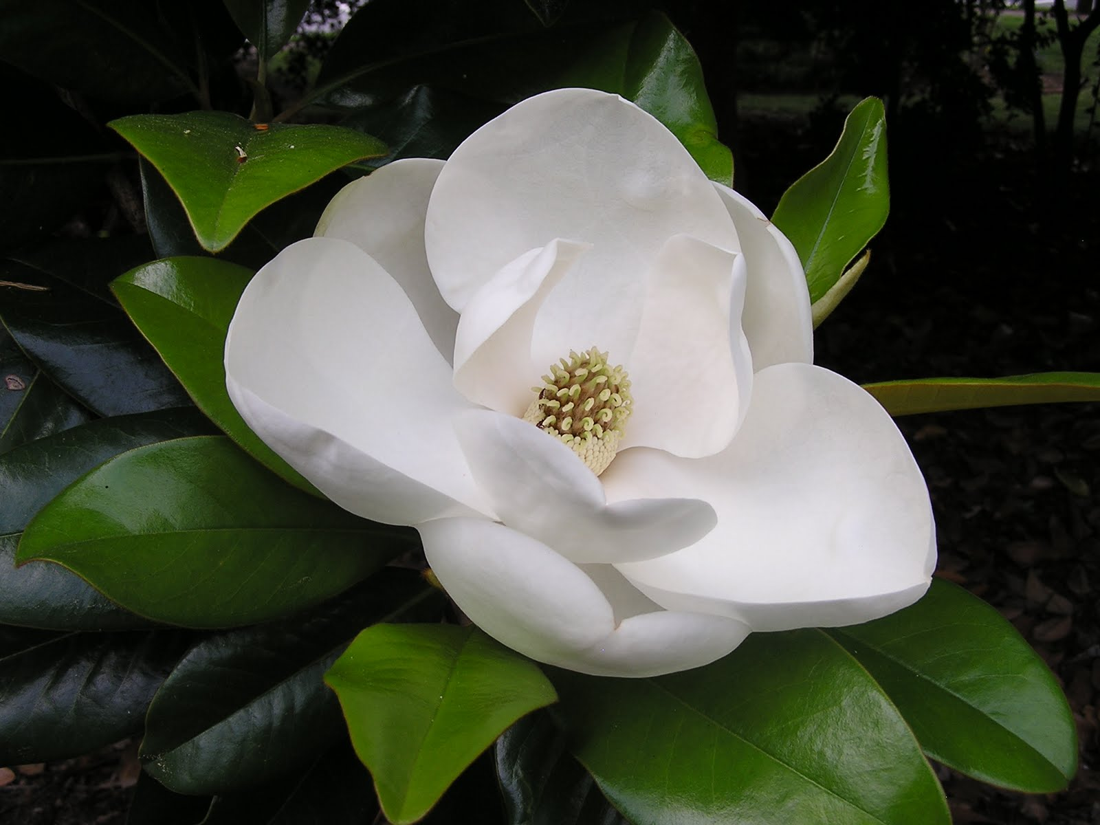 beautiful white magnolia flower Magnolia Flower Wallpapers