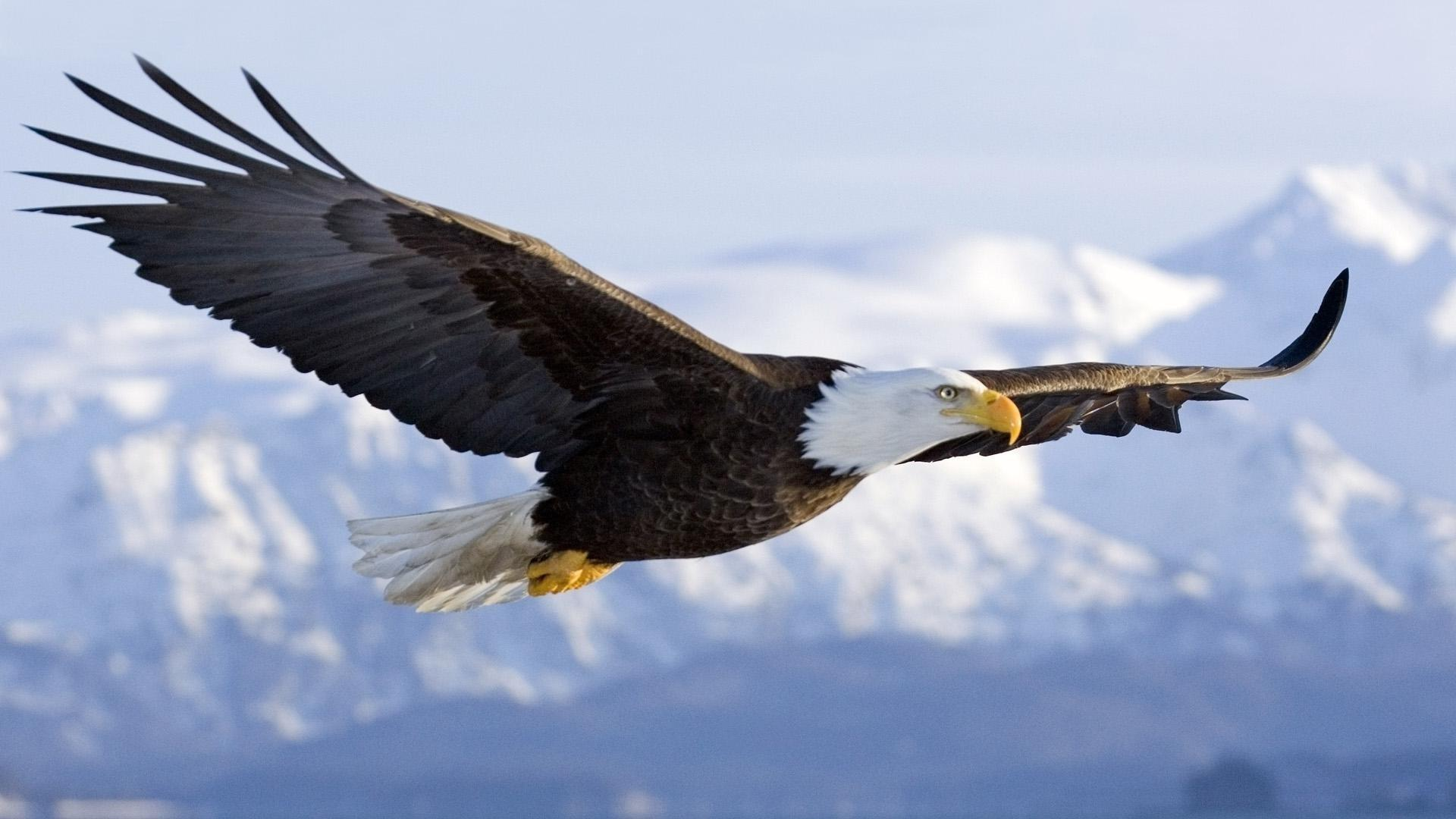 The majestic bald eagle HQ WALLPAPER - (#128591)