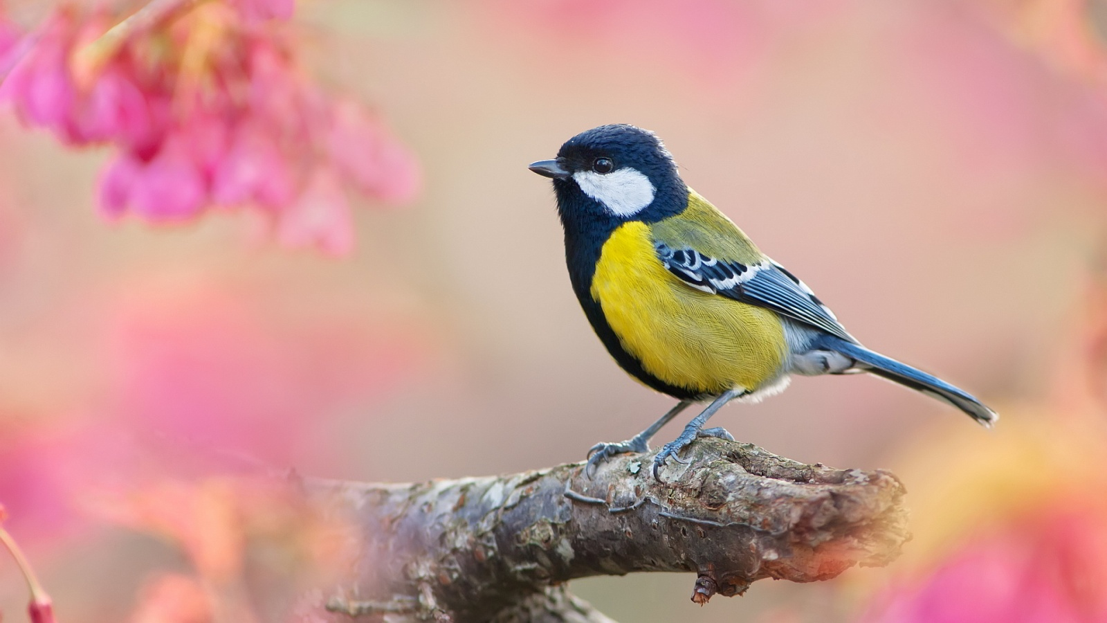 Description: The Wallpaper above is Male great titmouse Wallpaper in Resolution 1600x900. Choose your Resolution and Download Male great titmouse Wallpaper