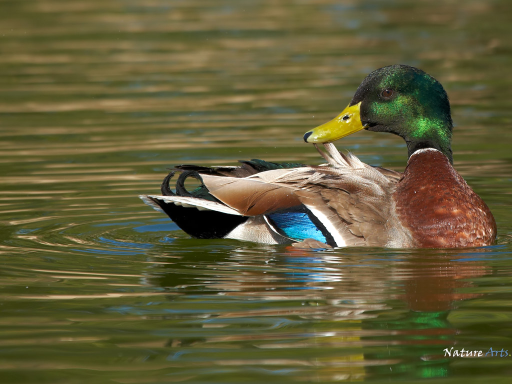 Mallard Duck desktop wallpaper HD » Mallard Duck desktop wallpaper HD