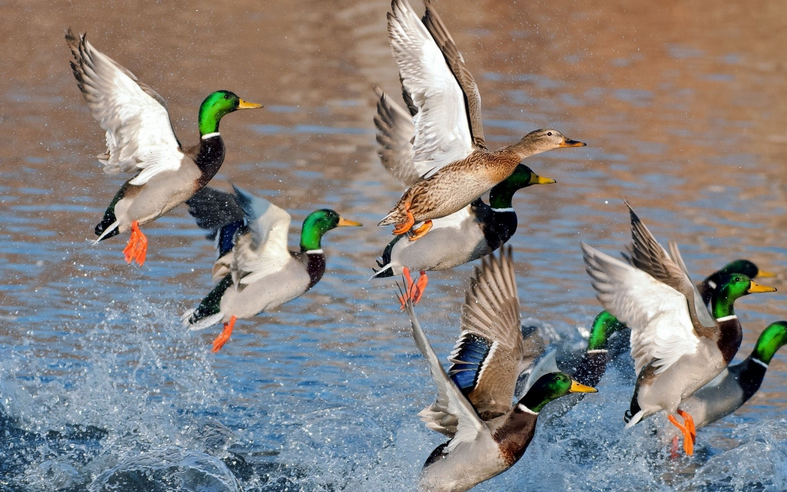 mallard ducks flying