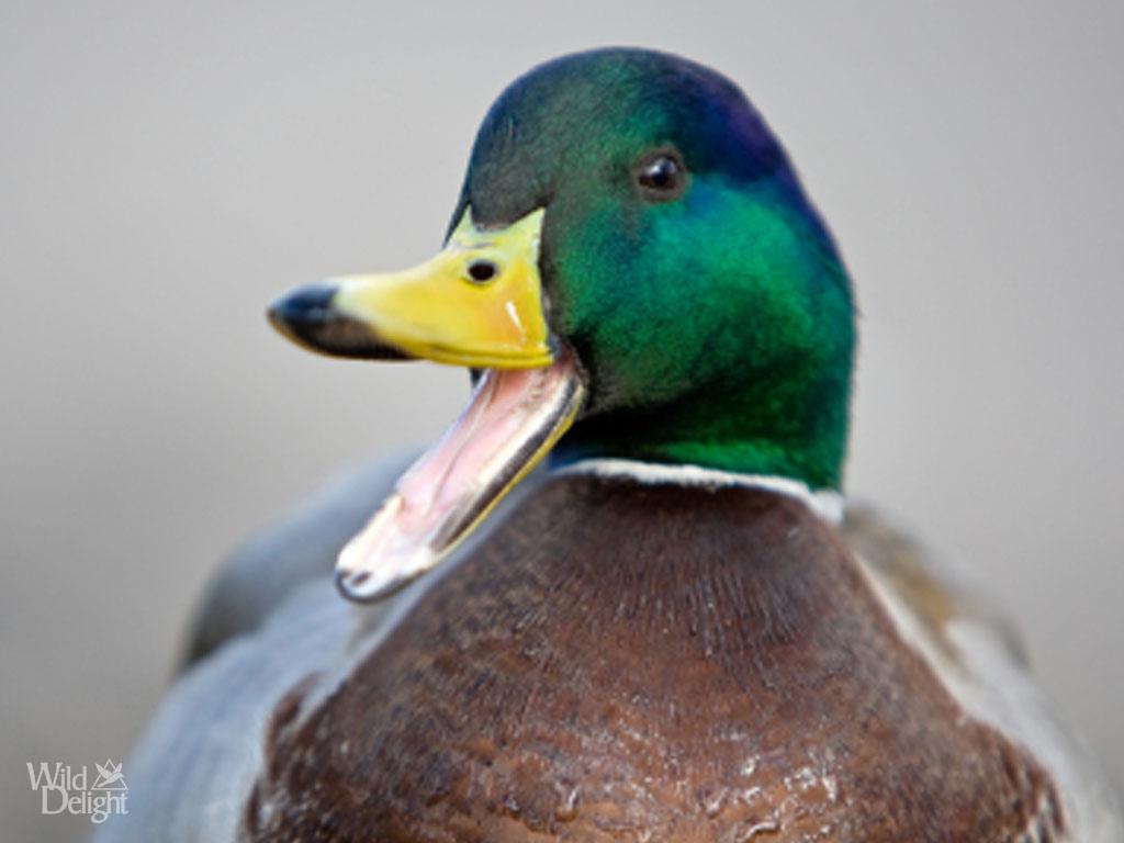 Mallard Duck Pictures