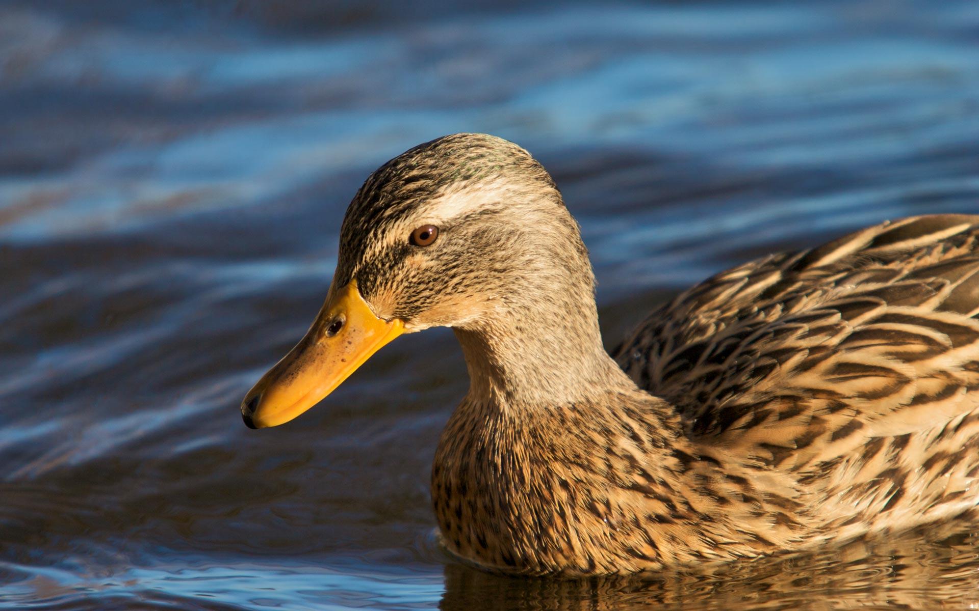 Mallard Duck Pictures · Mallard Duck Pictures ...