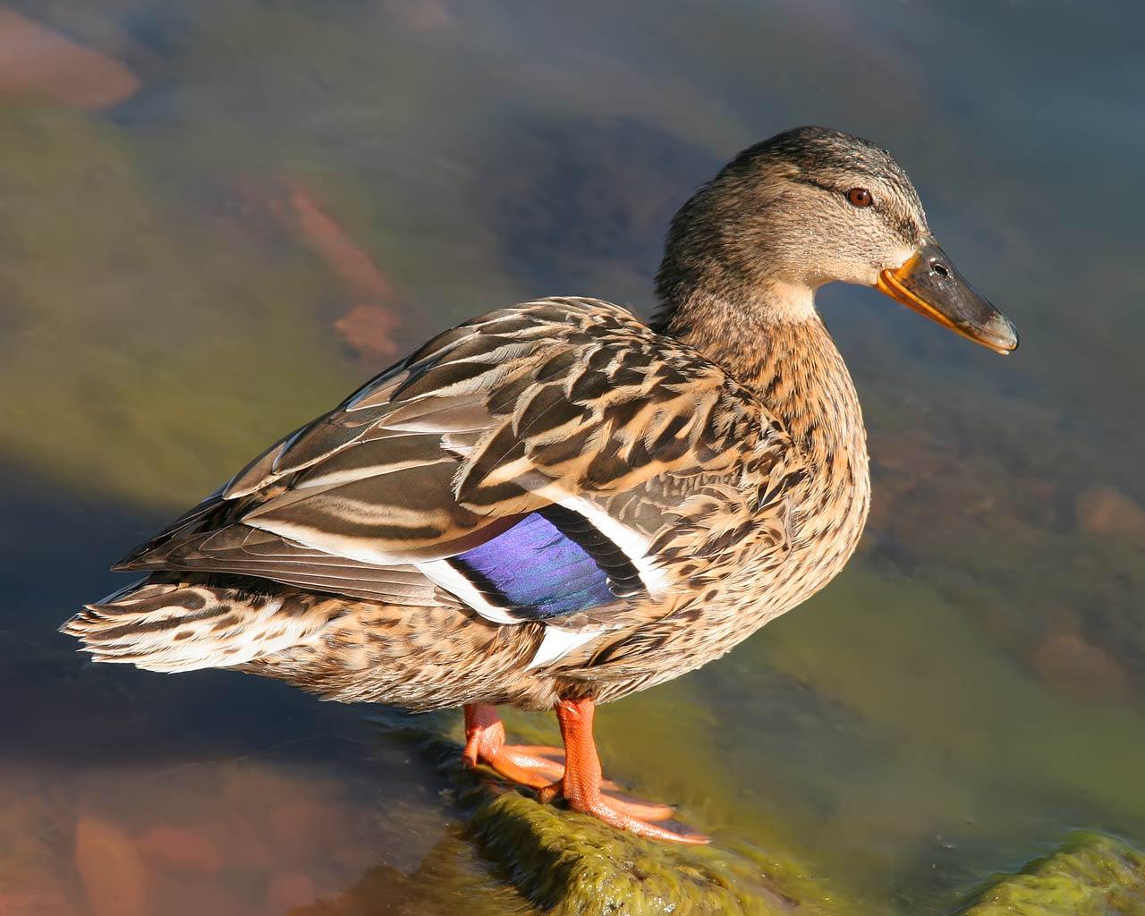 ... Mallard Duck Pictures ...