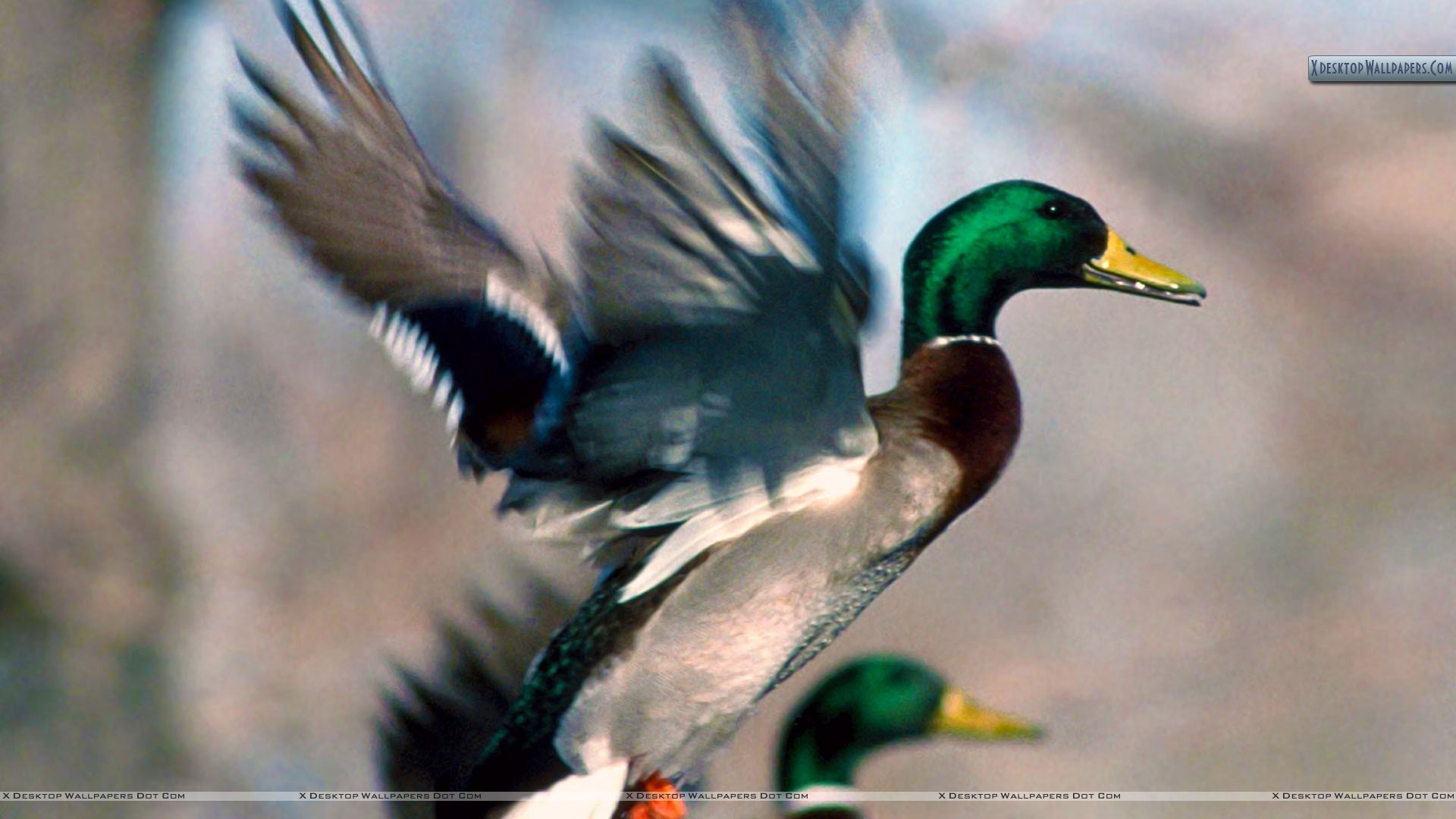 Animals for Gt Mallard Ducks Landing Wallpaper 1920x1080px
