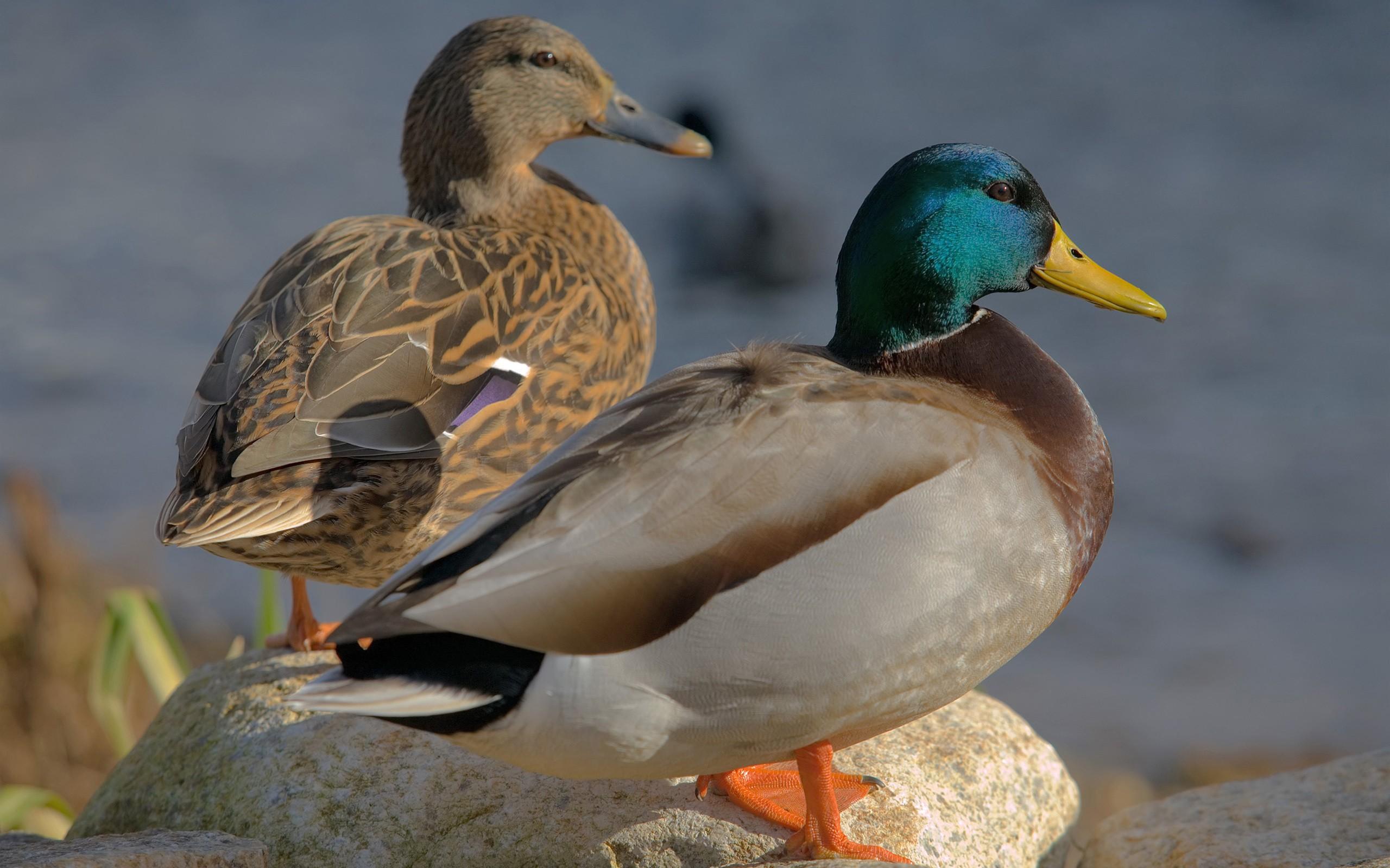 Animal world birds ducks mallard nature 2560x1600