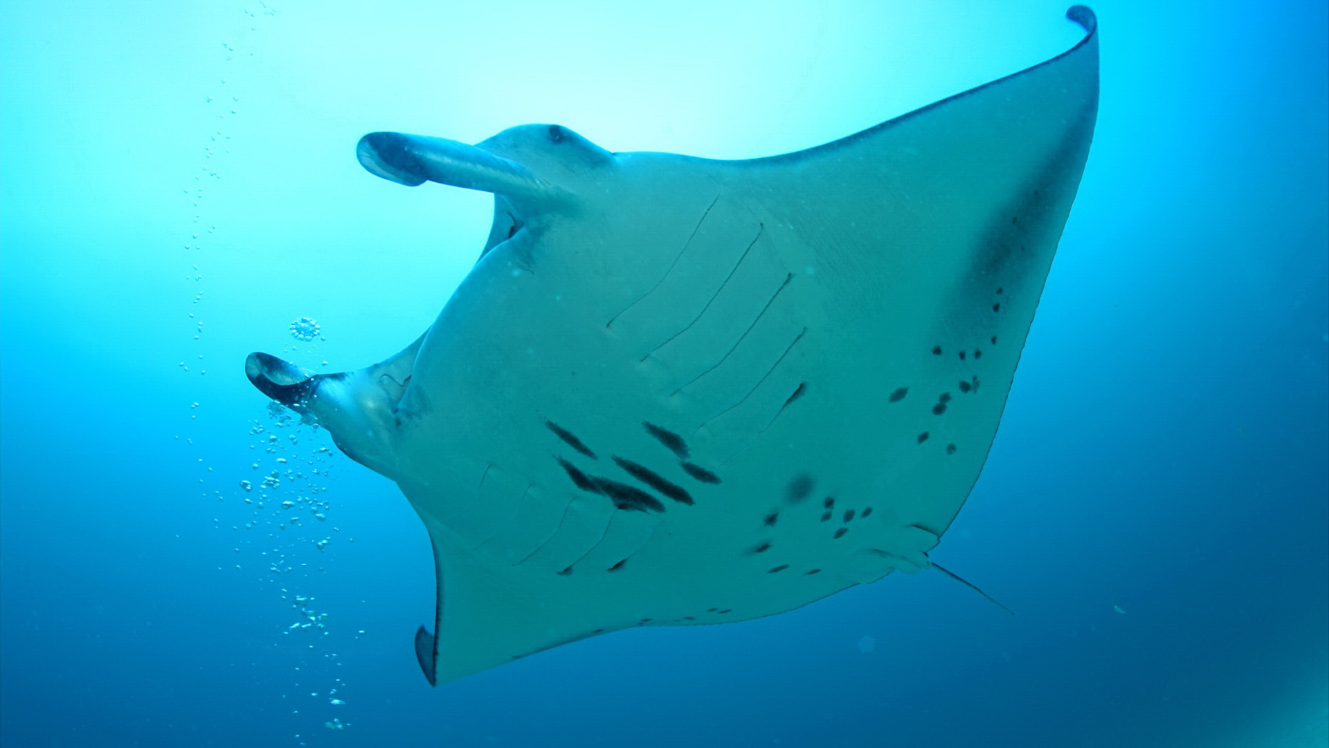 HD Wallpaper | Background ID:104631. 1920x1080 Animal Manta Ray