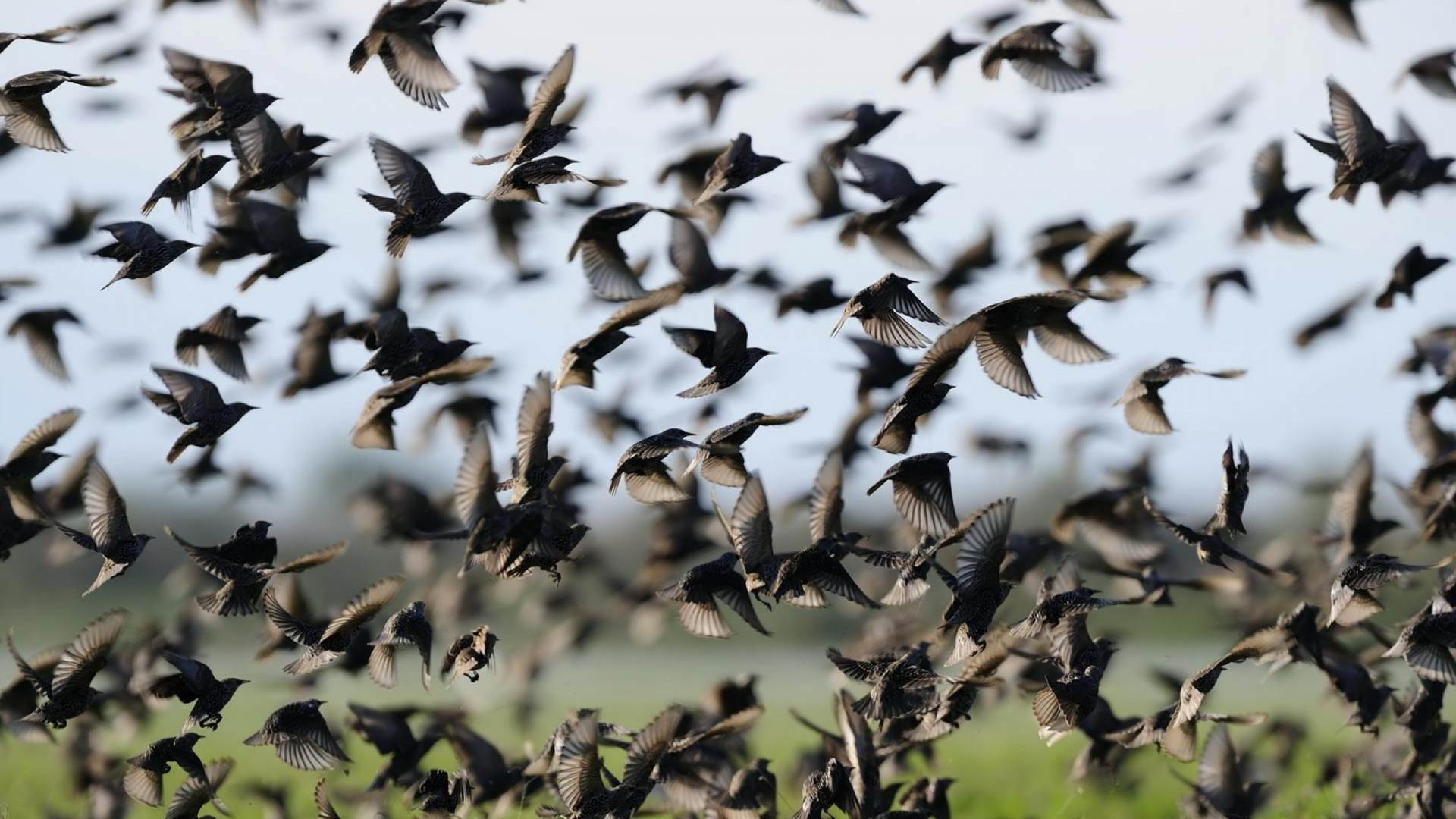 Many Starlings