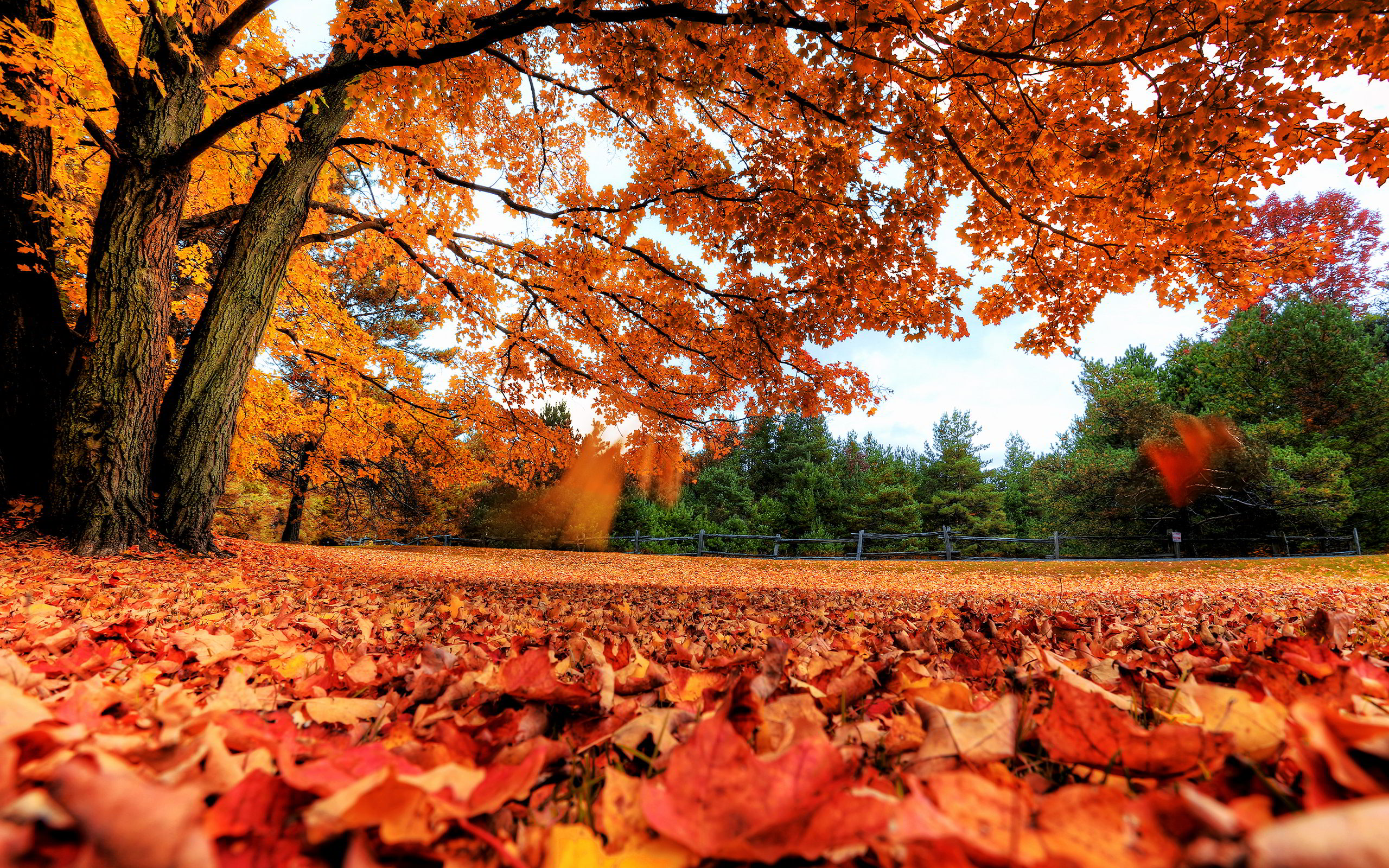 Autumn Maple Leaves Wallpapers Pictures Photos Images. «