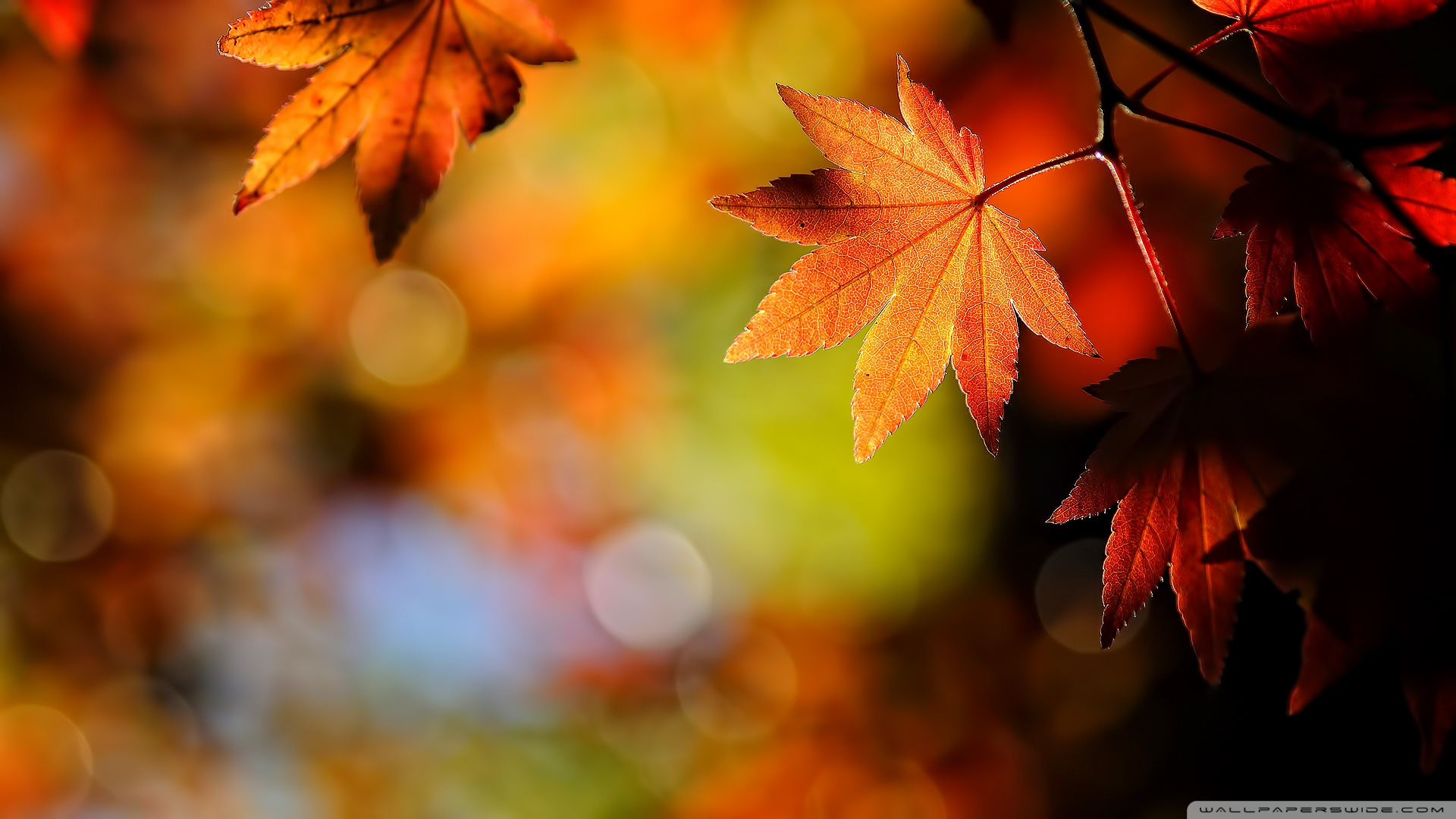 Maple Leaves Wallpaper