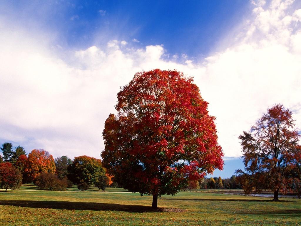 Maple Tree Fall