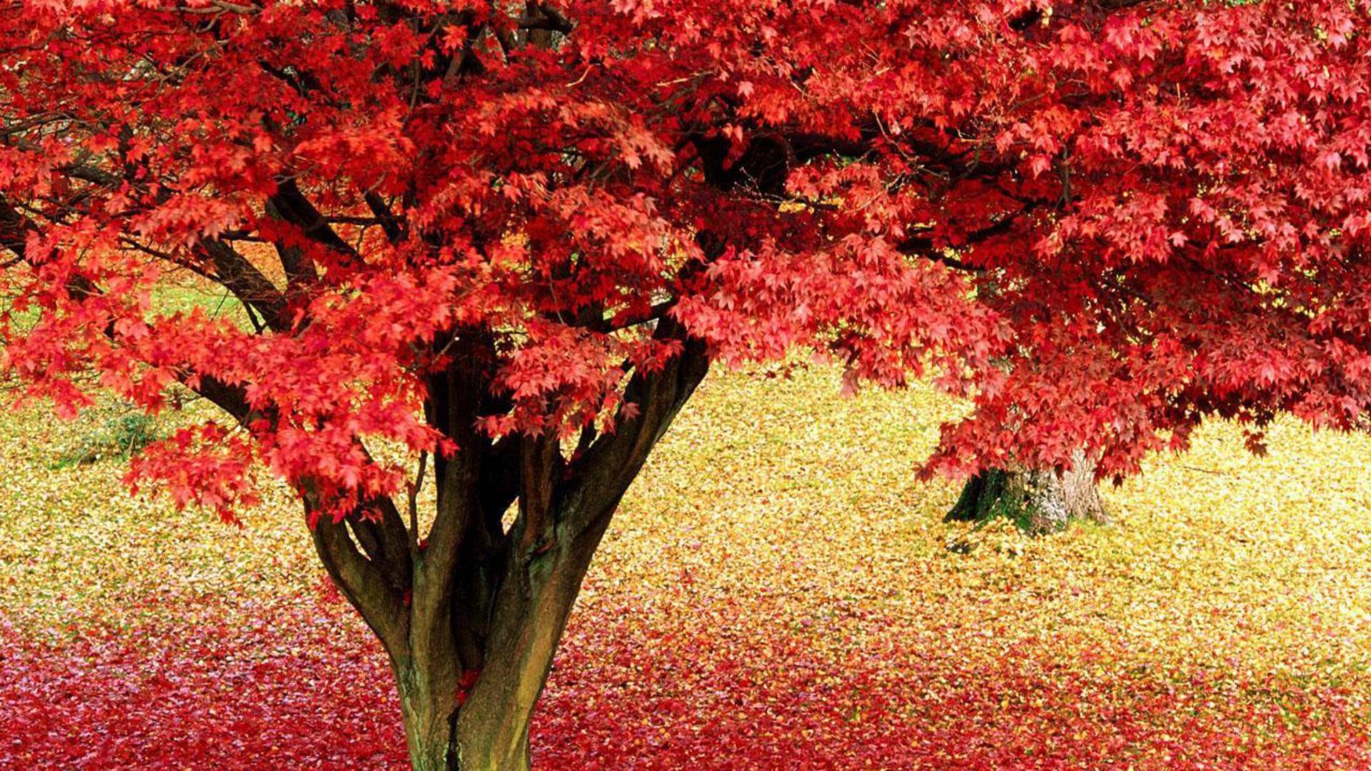 Maple Tree Pictures