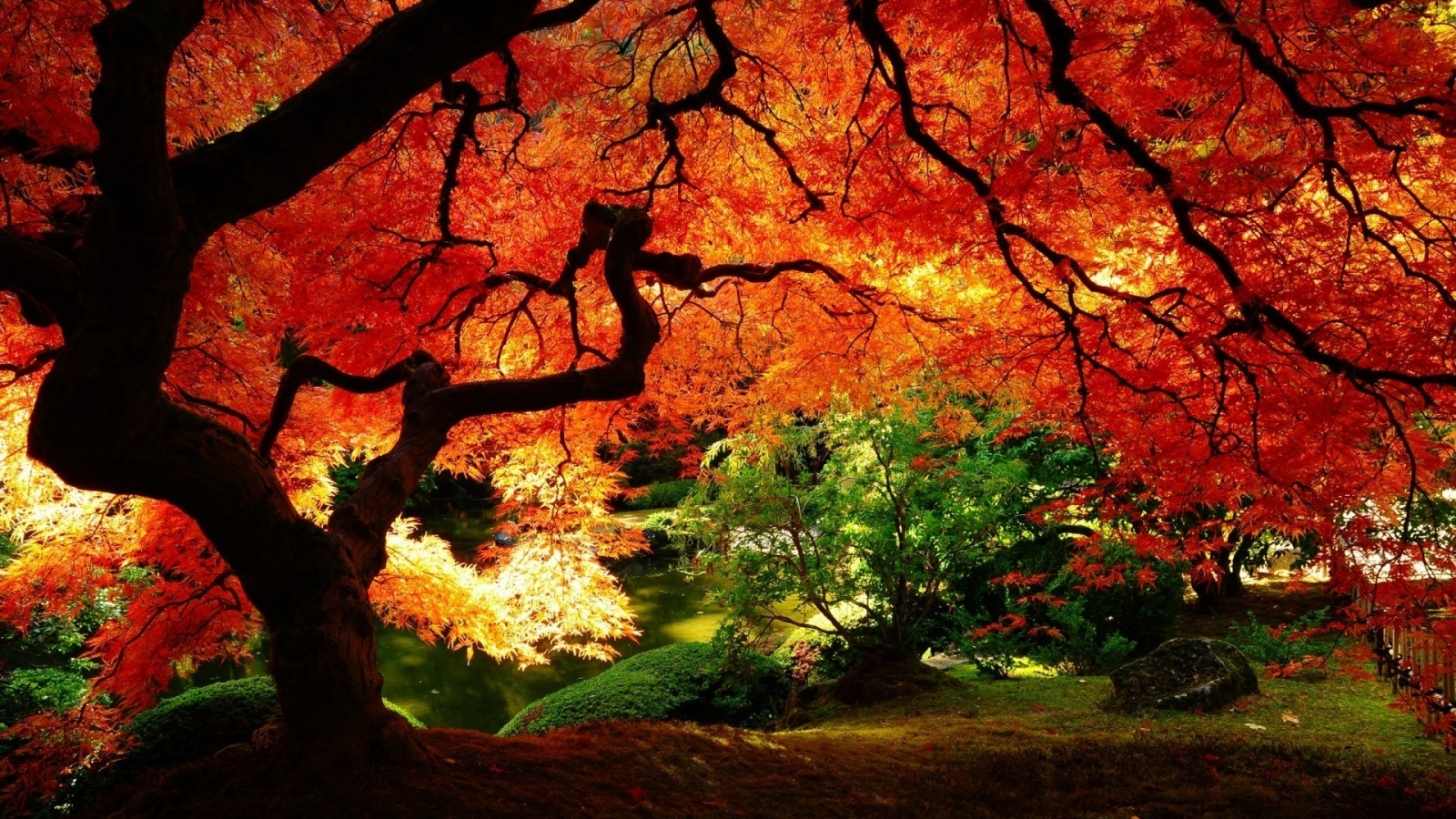 Maple Tree Wallpaper HD