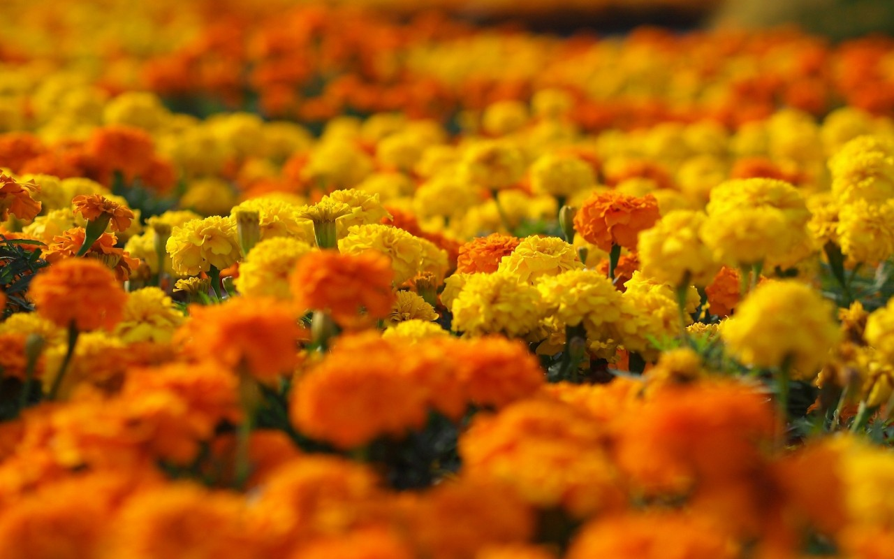 Marigold Background