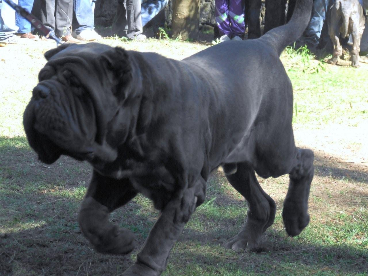 File:Neapolitan Mastiff Movement.jpg