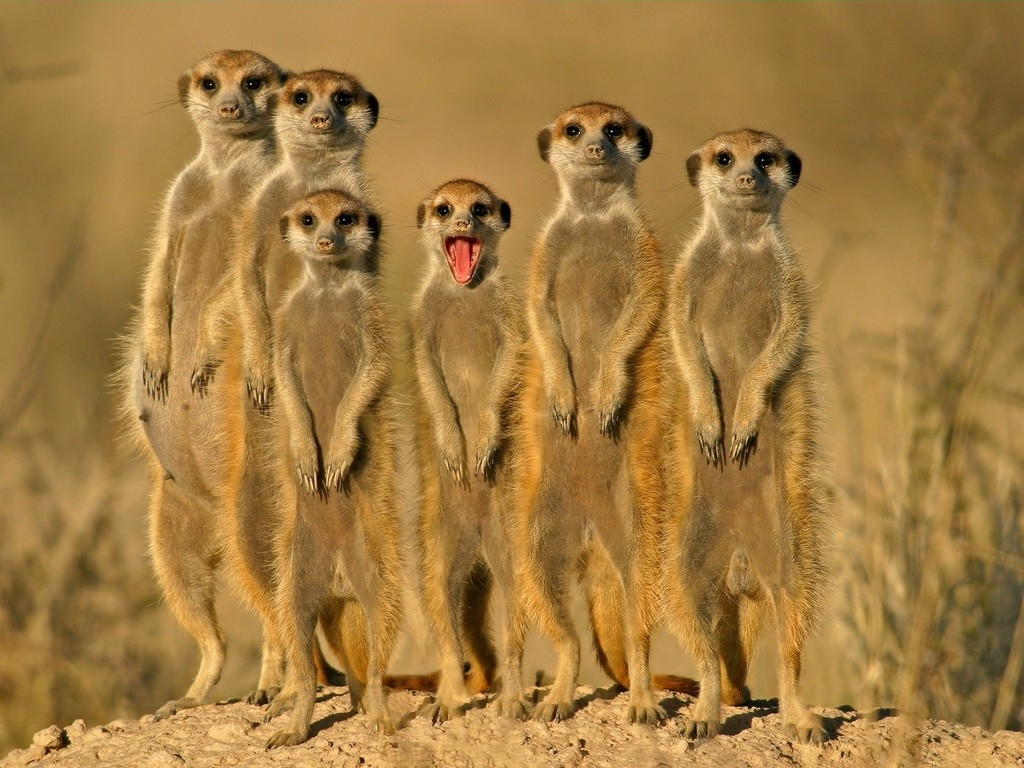 Meerkat group Wallpaper