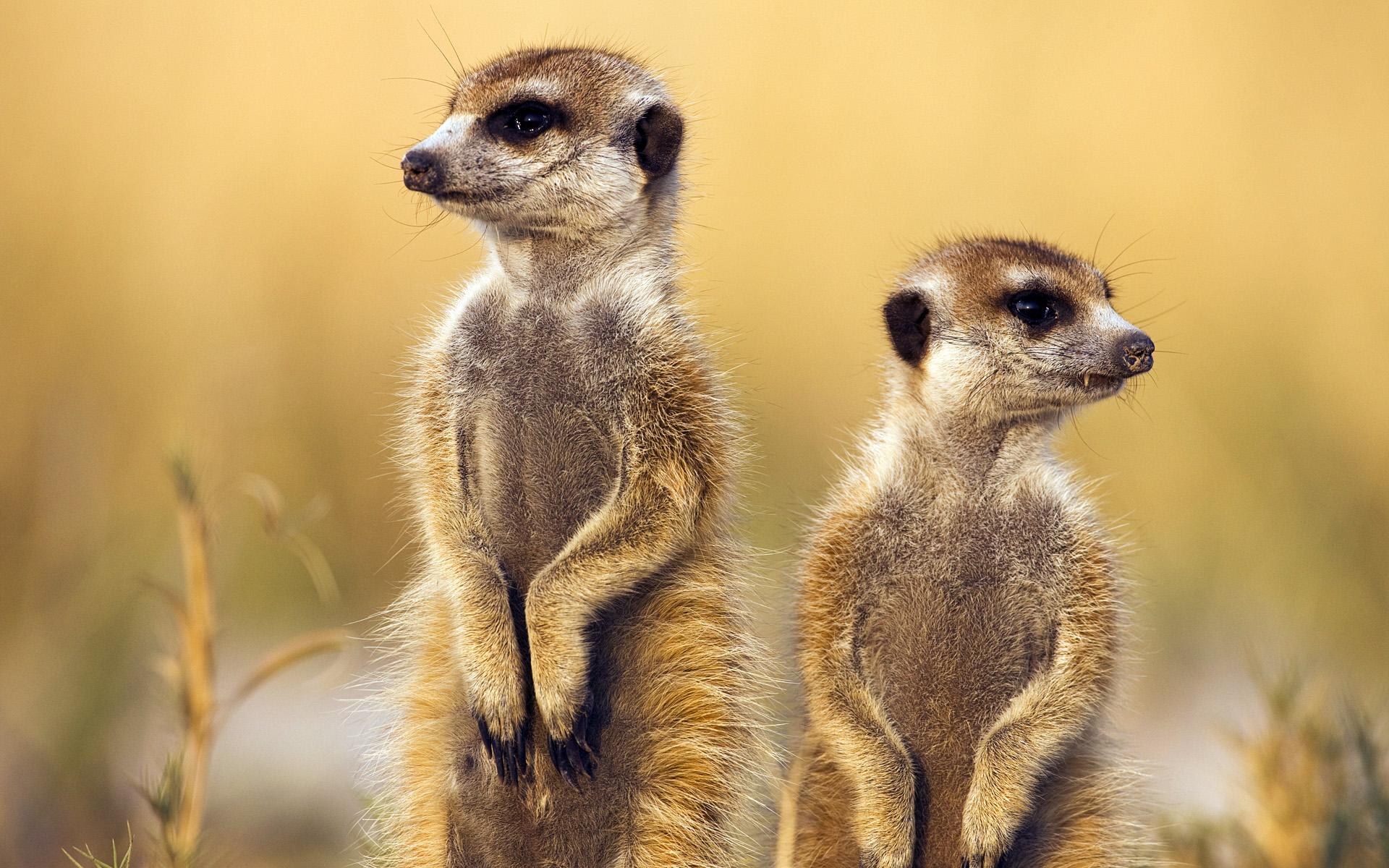Meerkat Backgrounds 38381 2560x1600 px