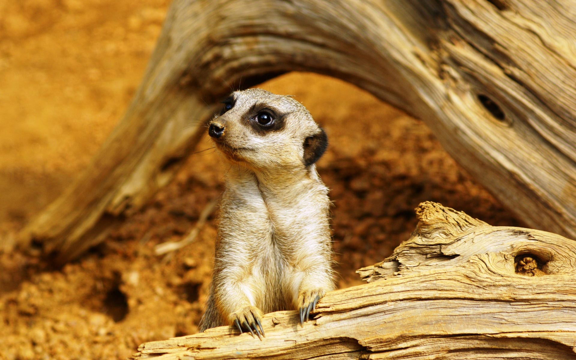 HD Wallpaper   Background ID:463930. 1920x1200 Animal Meerkat