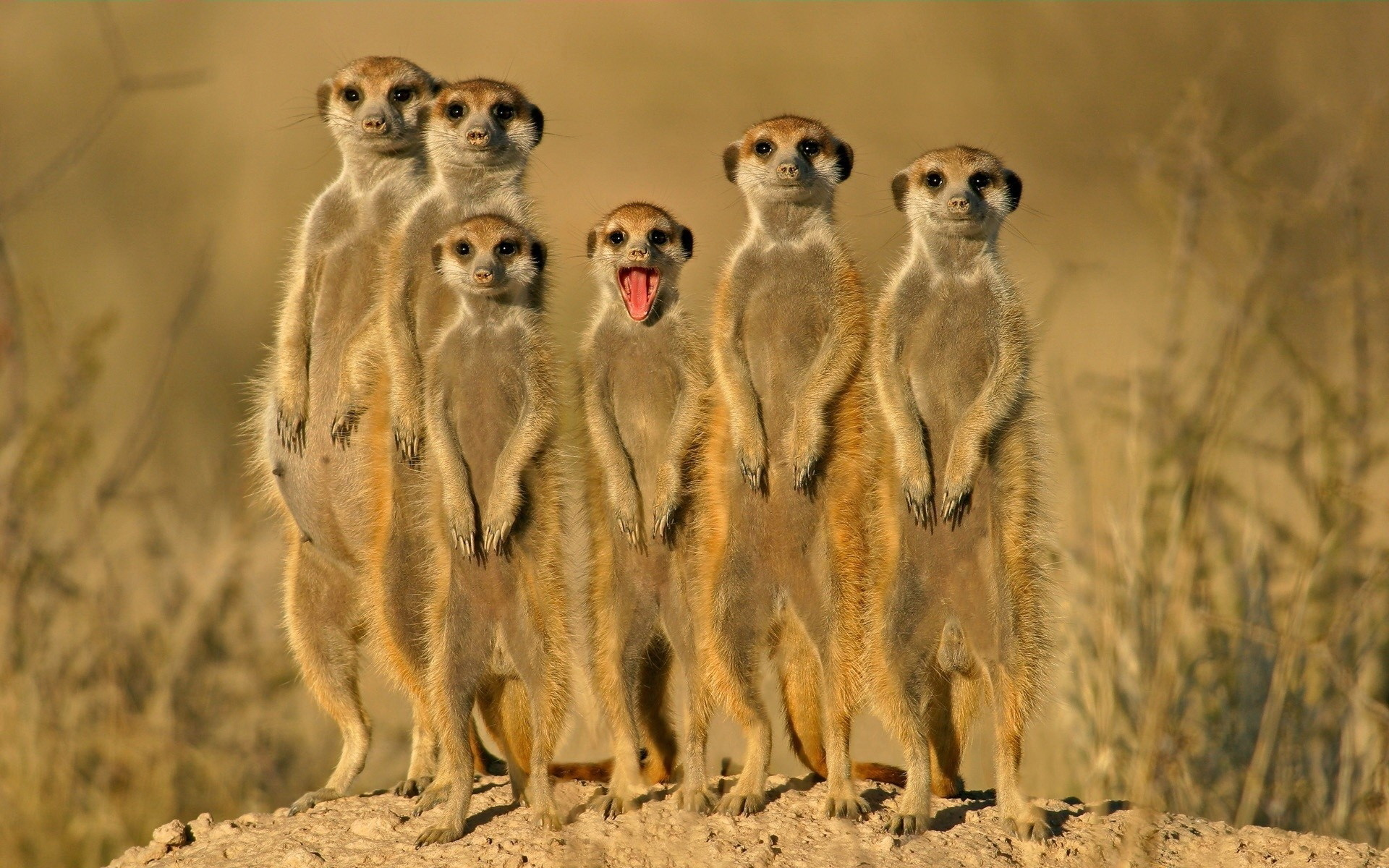 HD Wallpaper | Background ID:347251. 1920x1200 Animal Meerkat