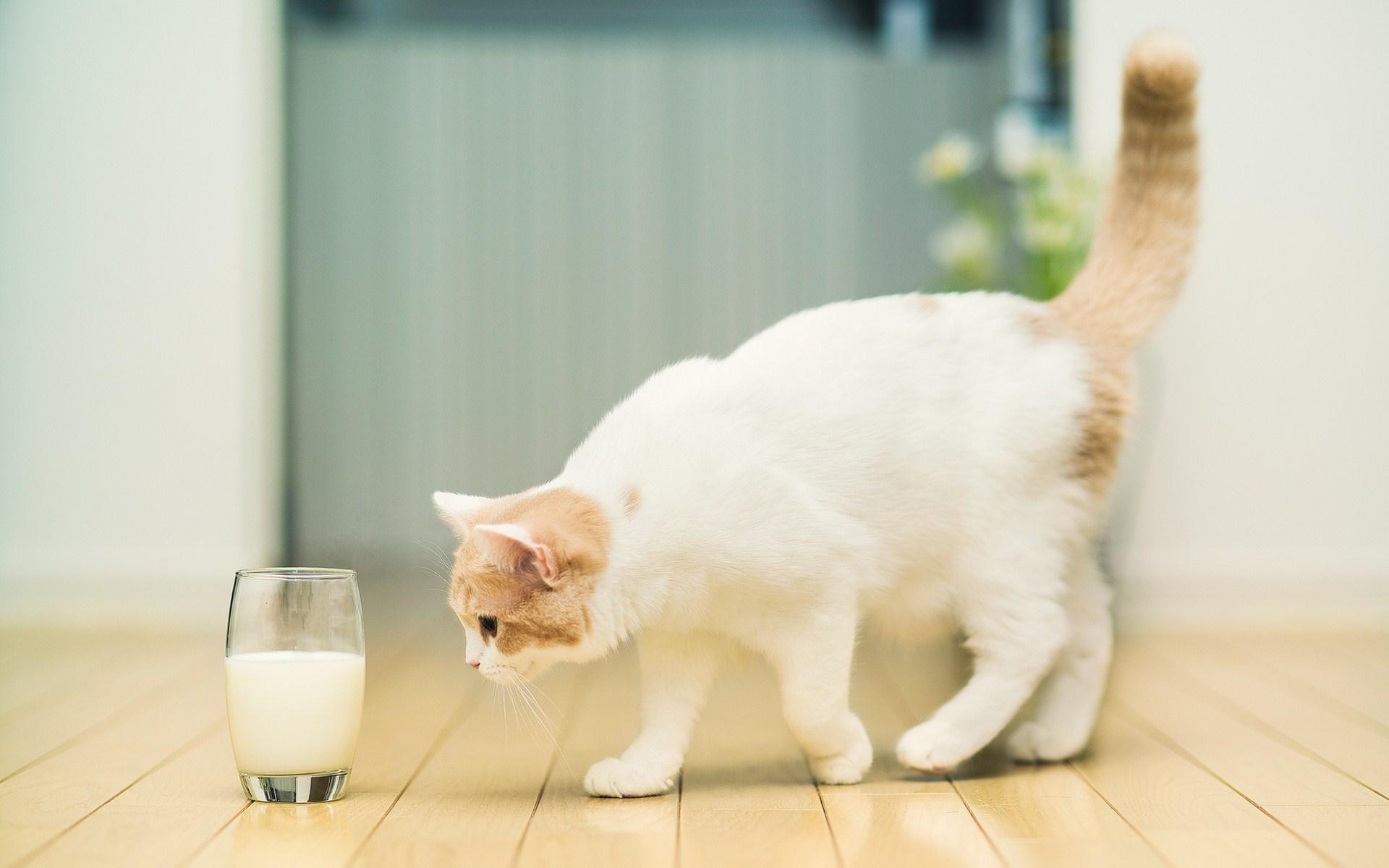 Cat Approaching Milk Wallpaper