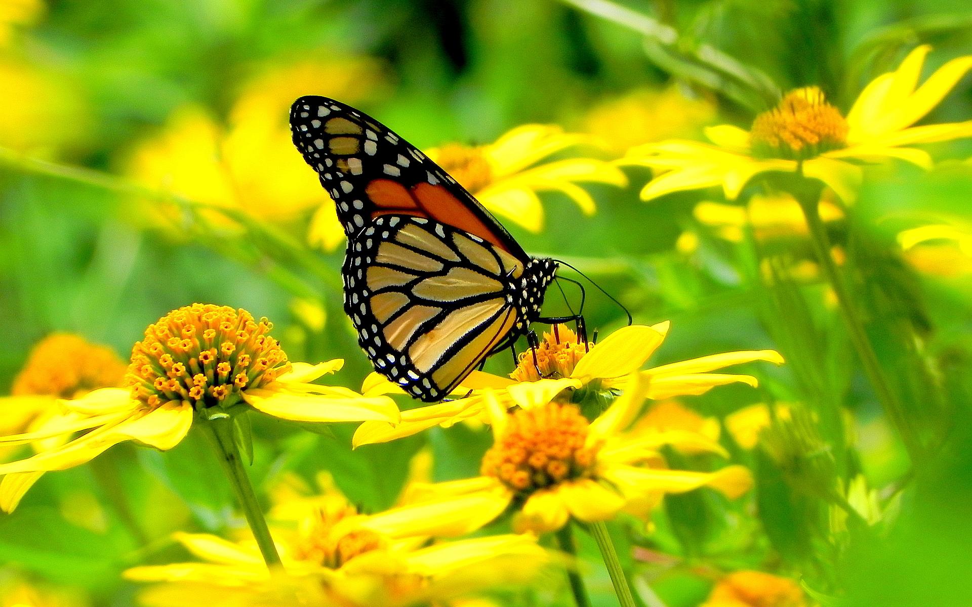 Monarch butterfly flowers