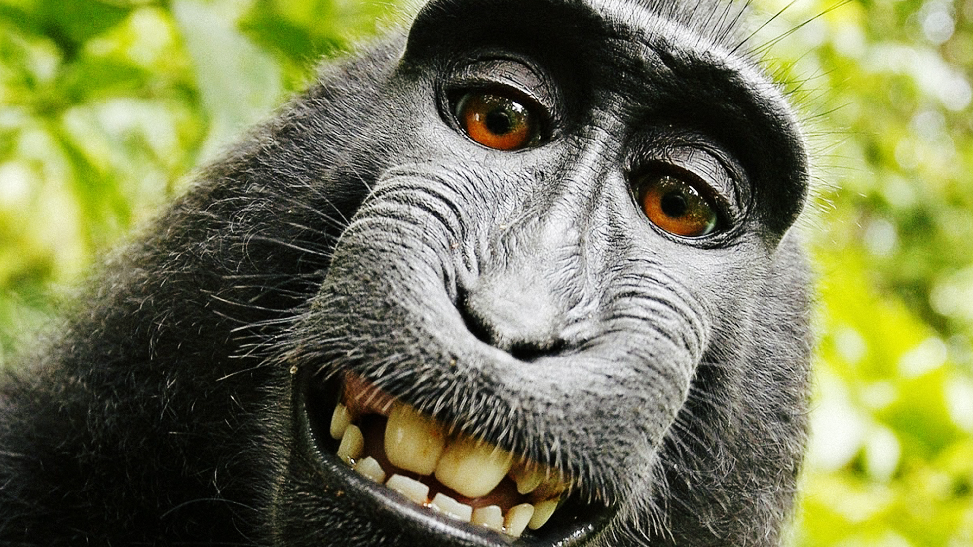 We Asked A Bunch Of Lawyers: Who Owns The Copyright To This Amazing Monkey Selfie? | Fast Company | Business + Innovation