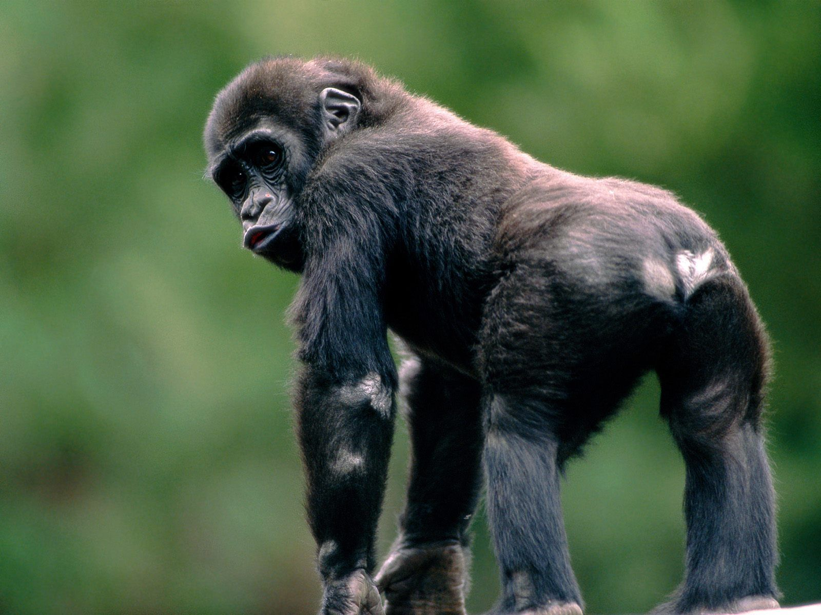 amazing baby monkey hd desktop background wallpaper free photos