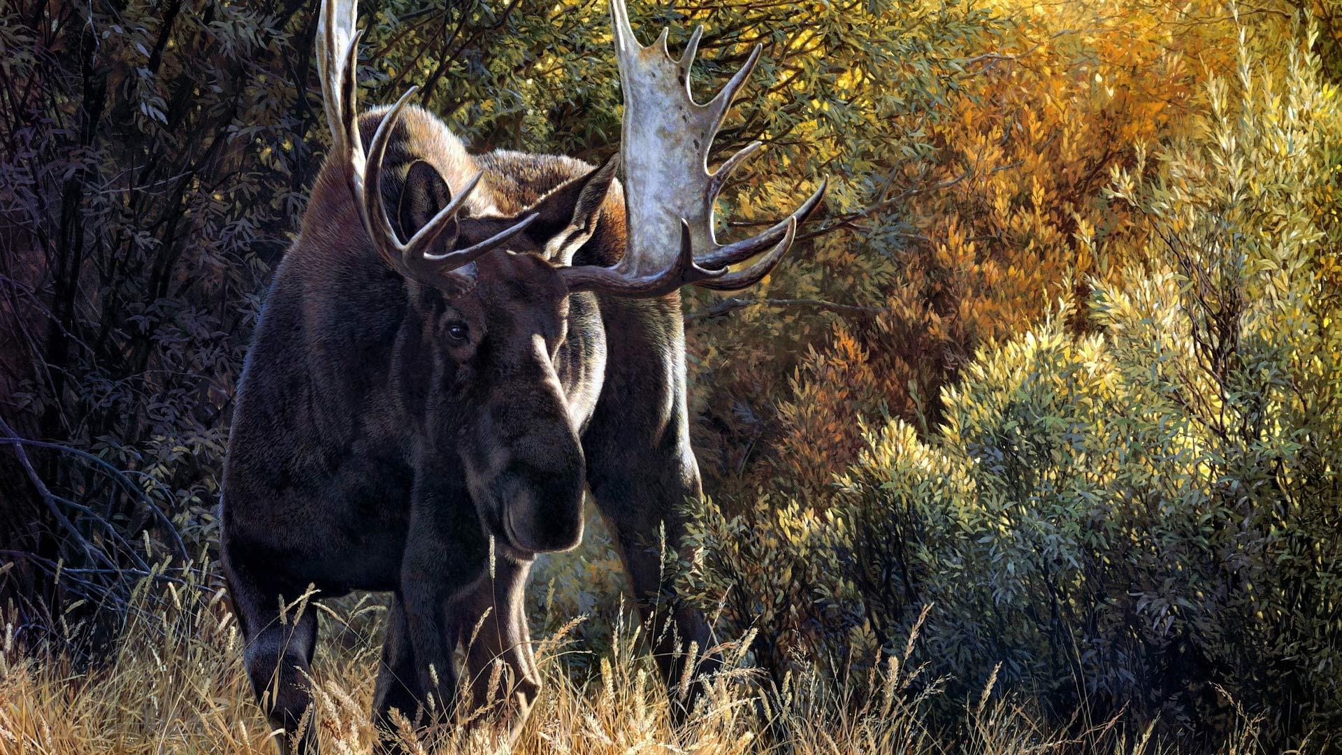 Moose Wallpaper