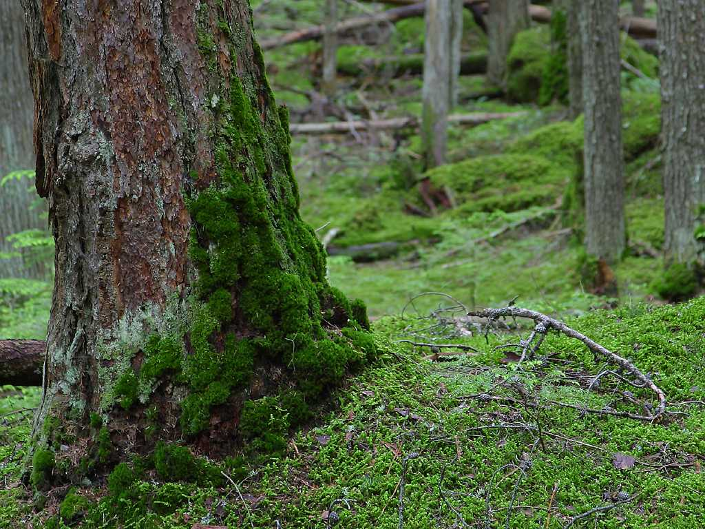 Free Stock Photo in High Resolution - Climbing Moss - Forest - Landscapes. >
